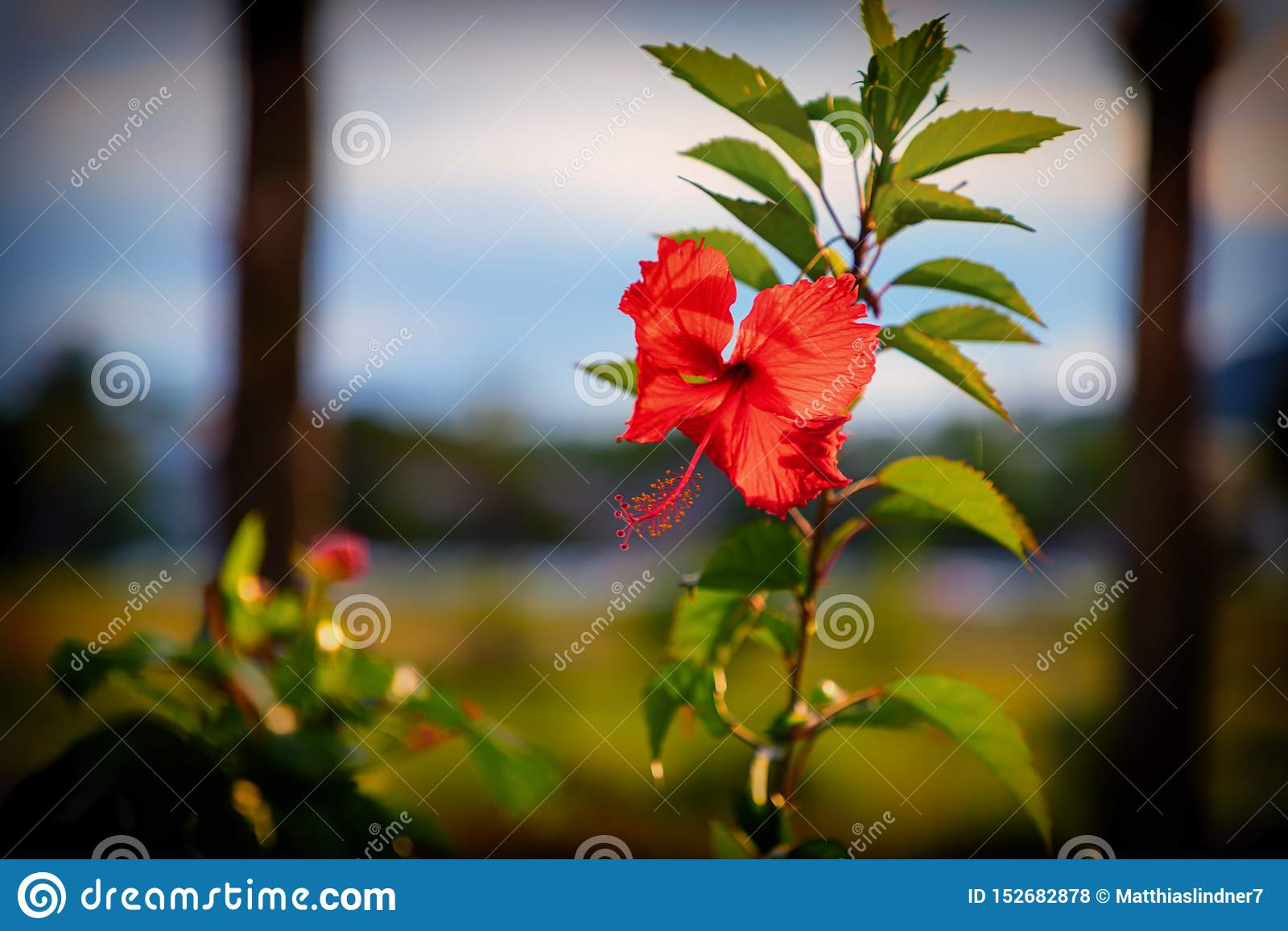 Flor roja del hibisco antes de la puesta del sol Rep?blica del Caribe, Dominicana