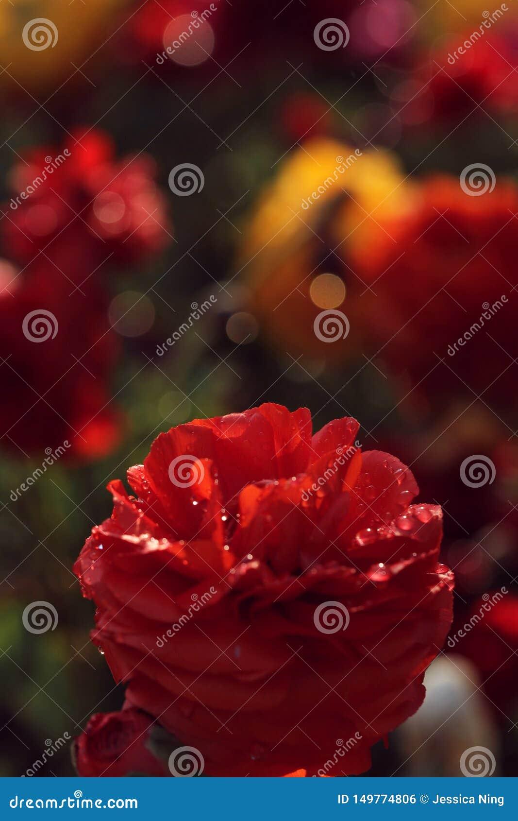 Flor roja en el jard?n