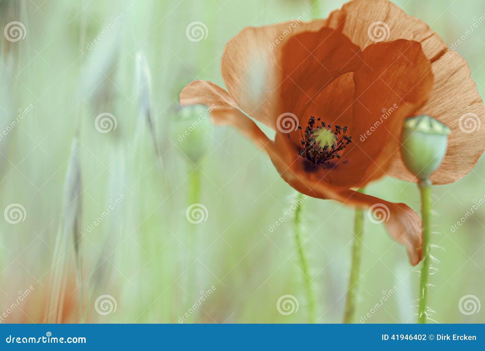 Flor roja salvaje del verano