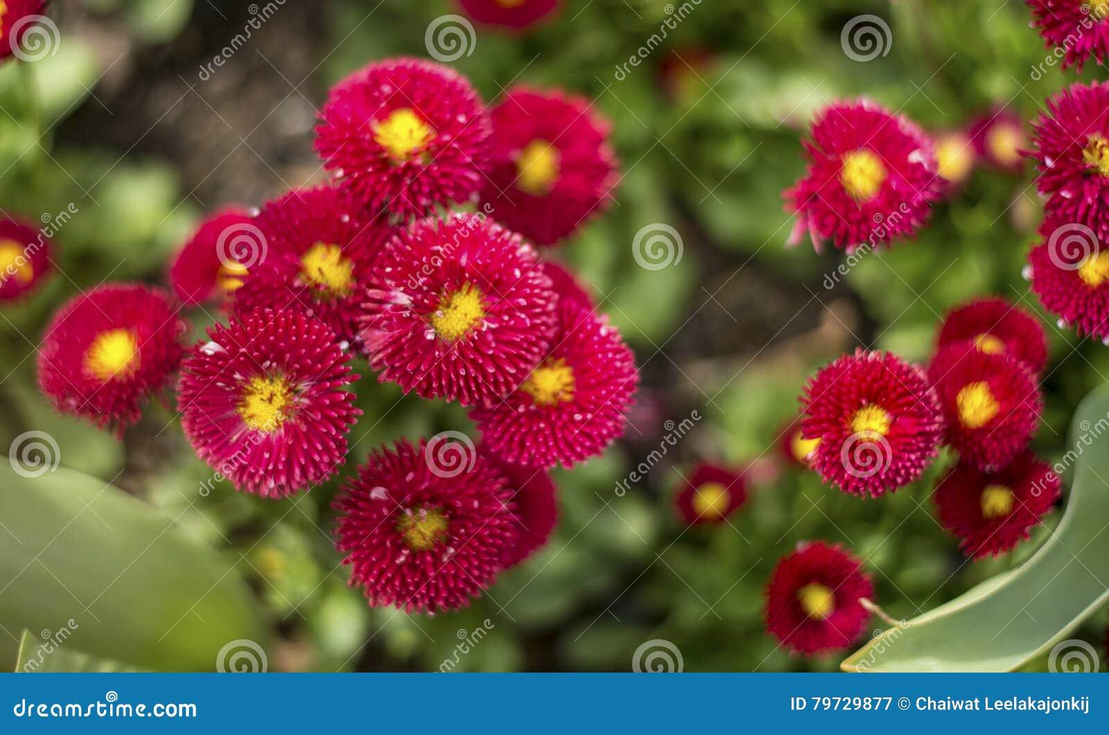 Flor rojo de la flor de la margarita