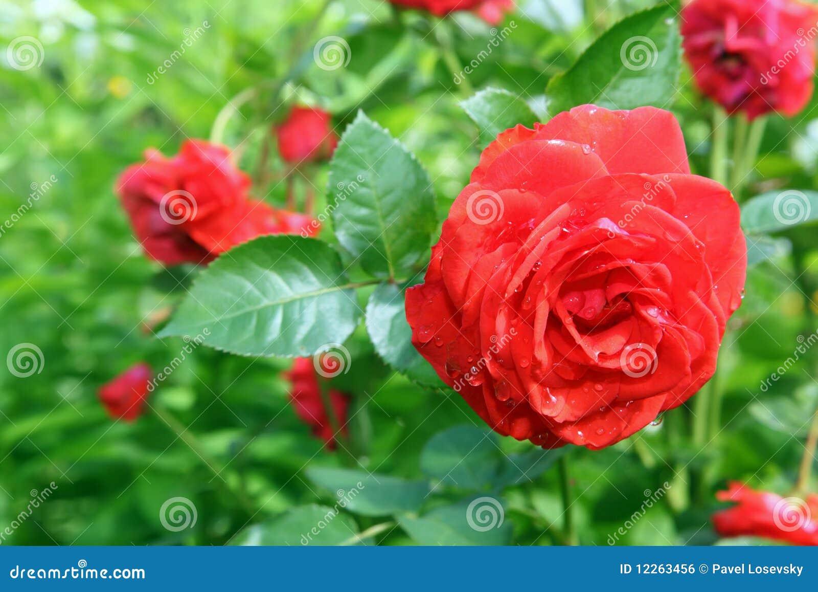 Flor Rosa no jardim