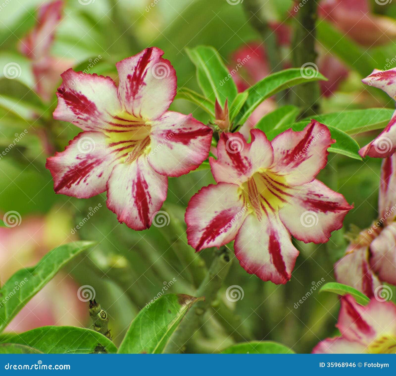 Flor rosada, árbol del obesum del Adenium, desierto Rose, Imp