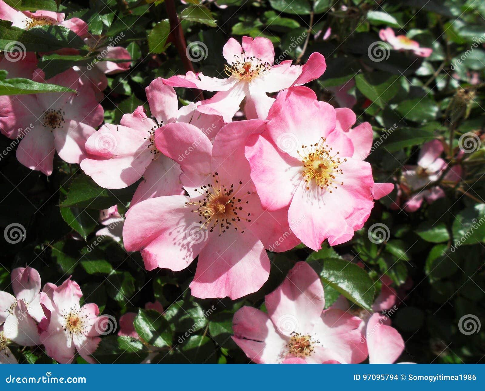 Flor rosada de Coral Carpet Rose