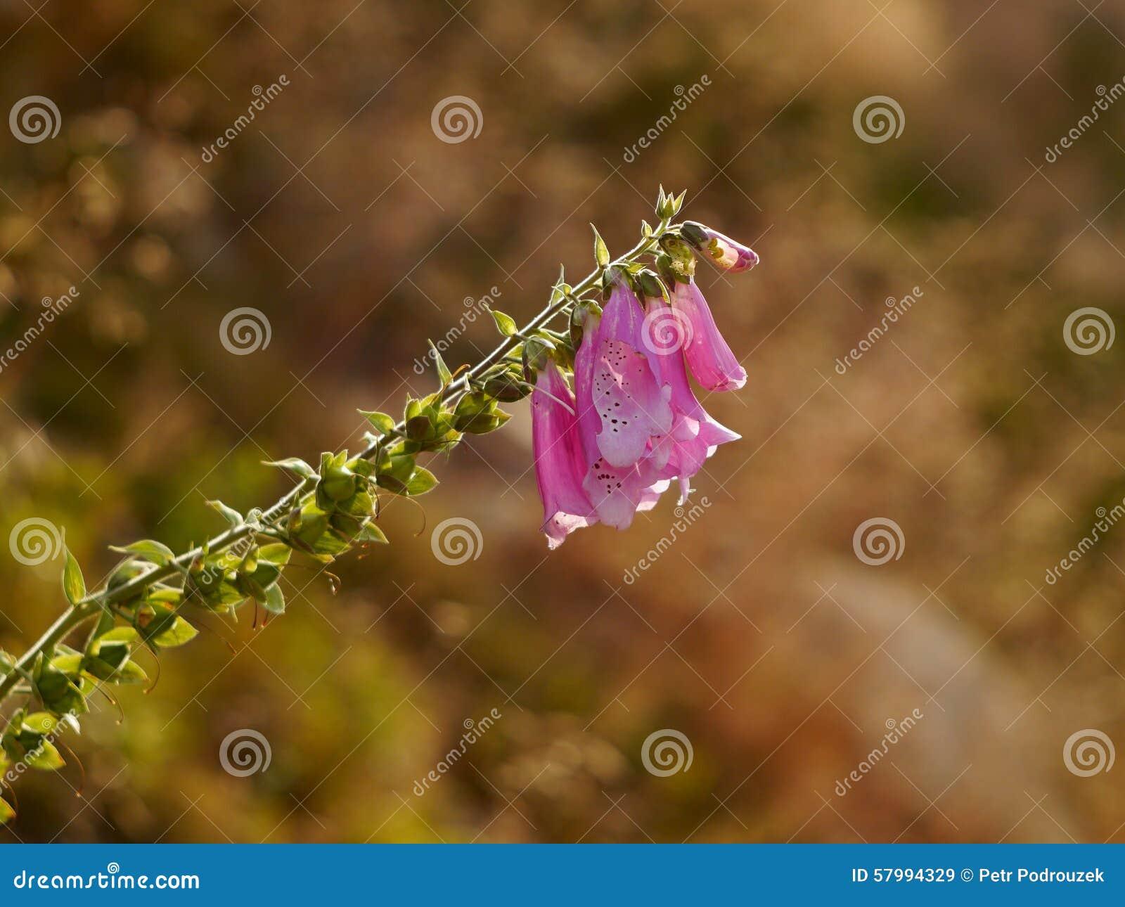 Flor rosada de la montaña
