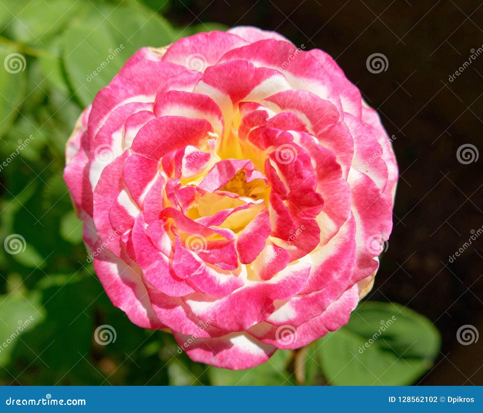 Flor rosada de la rosa del blanco en el jardín