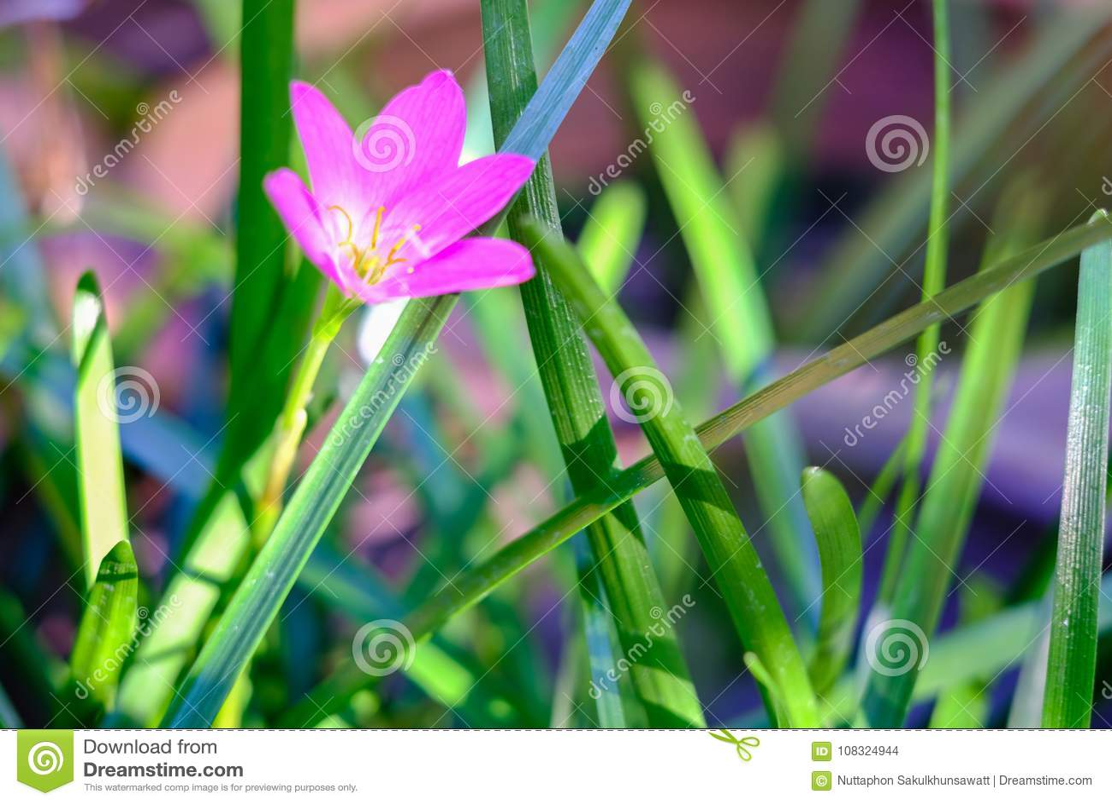 Flor rosada de Zephyranthes, cierre para arriba, nombres comunes para las especies adentro
