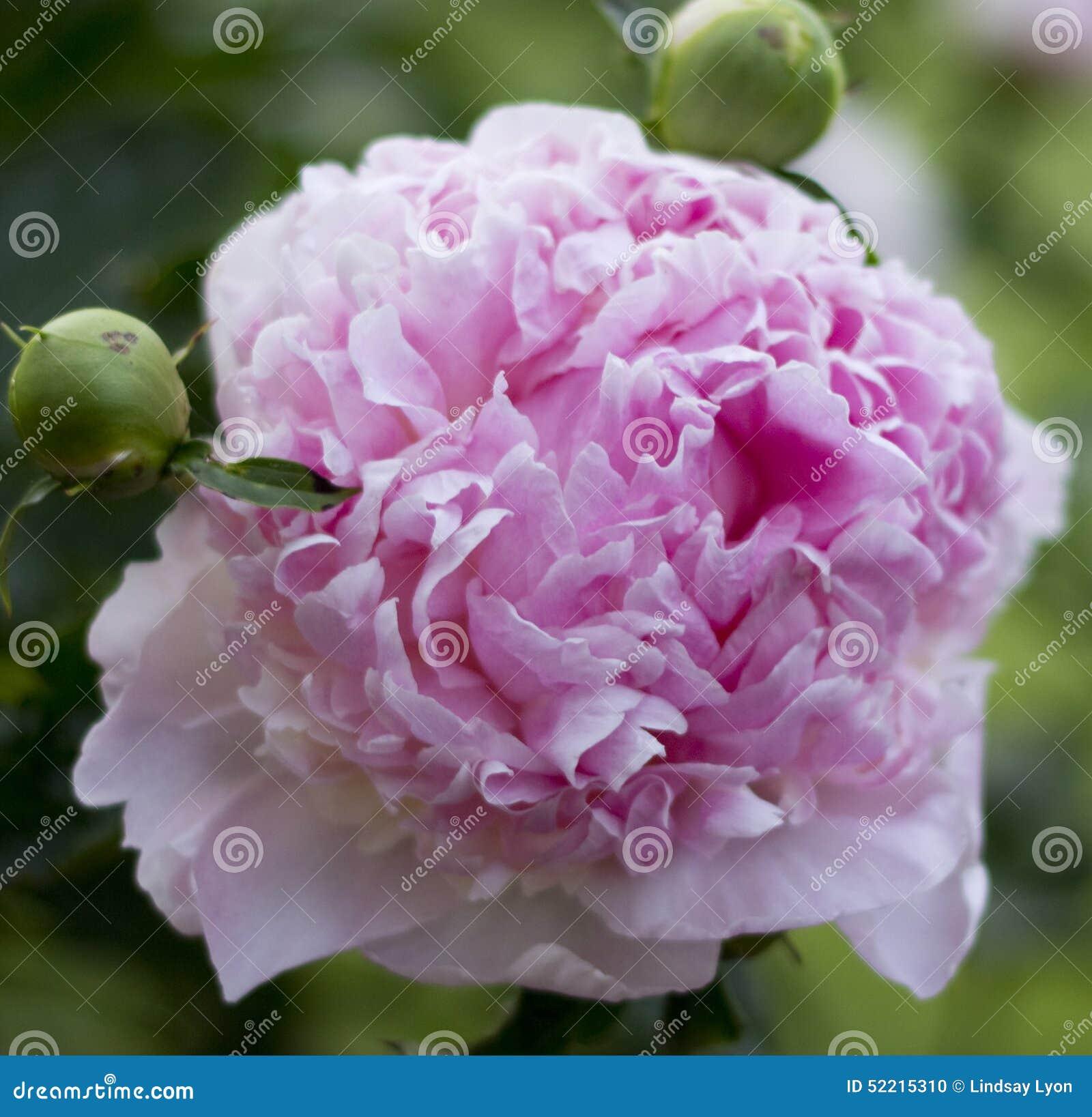 Flor rosada del peony