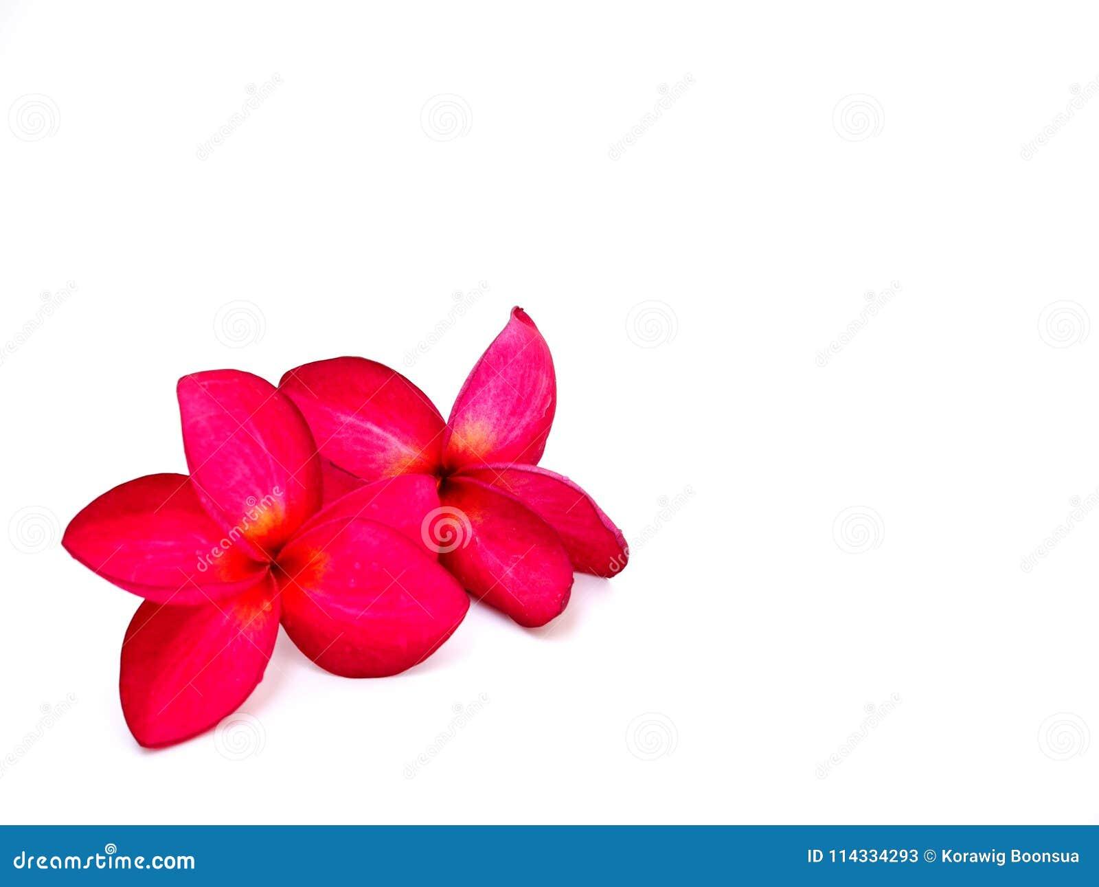 Flor rosada del plumeria dos en aislado