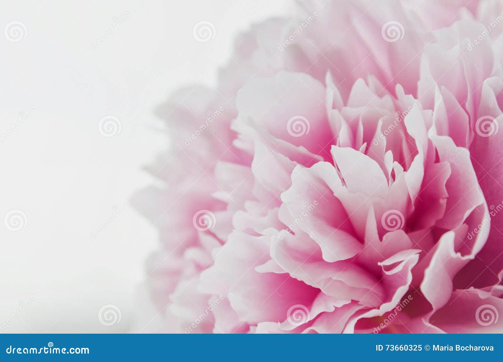 Flor rosada fresca hermosa de la peonía aislada en el fondo blanco Verano de las peonías Amor floral Billete de banco reajustado
