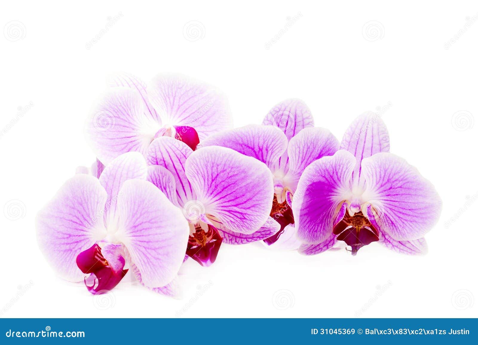 Flor rosada hermosa de la orquídea en el fondo blanco.