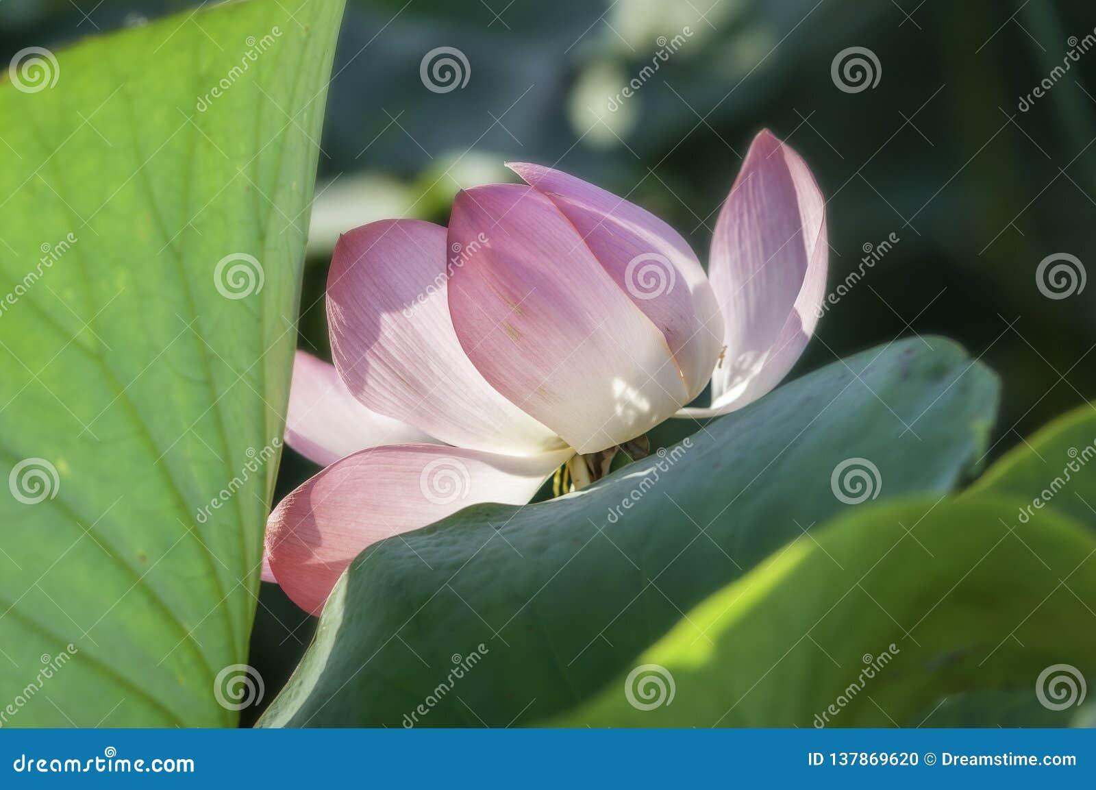 Flor rosada, loto, agua, lirio de agua, valle de lotos, estuario