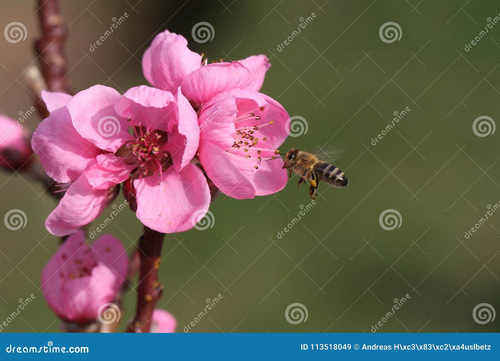 Flor rosado de un árbol frutal con la abeja del vuelo