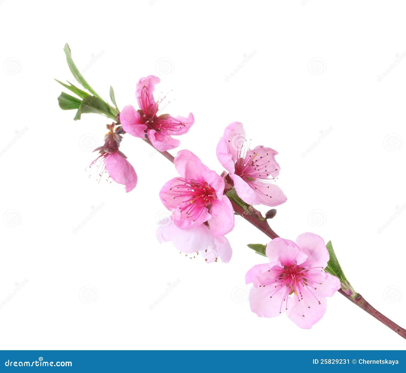 Flor rosado hermoso del melocotón