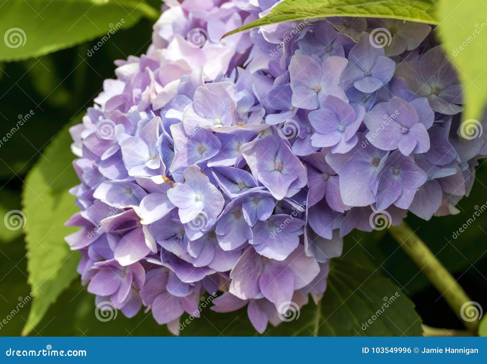 Flor rosado y púrpura de la hortensia