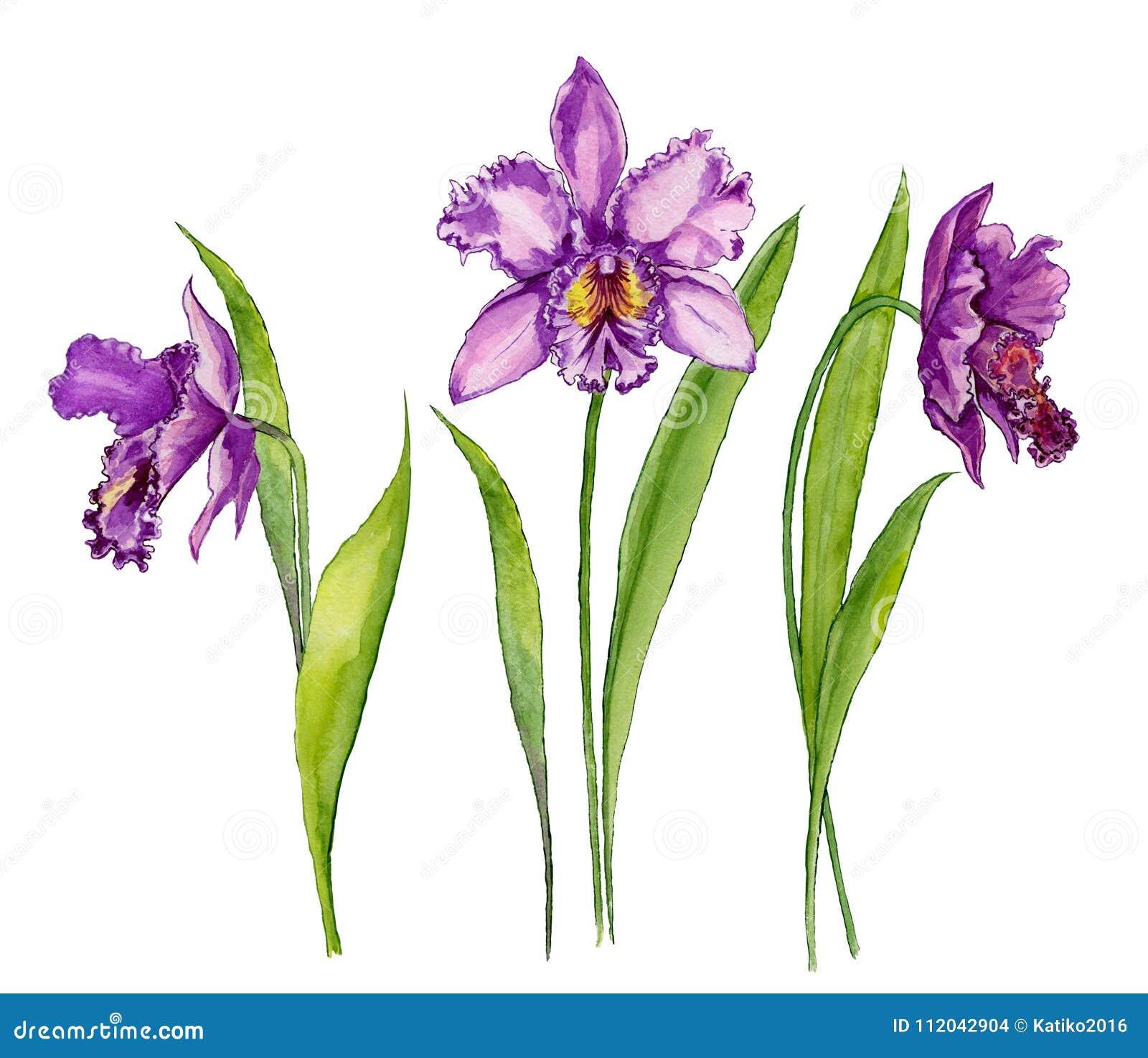 Flor roxa bonita de Cattleya da orquídea em uma haste com folhas verdes Isolado no fundo branco Grupo de três flores