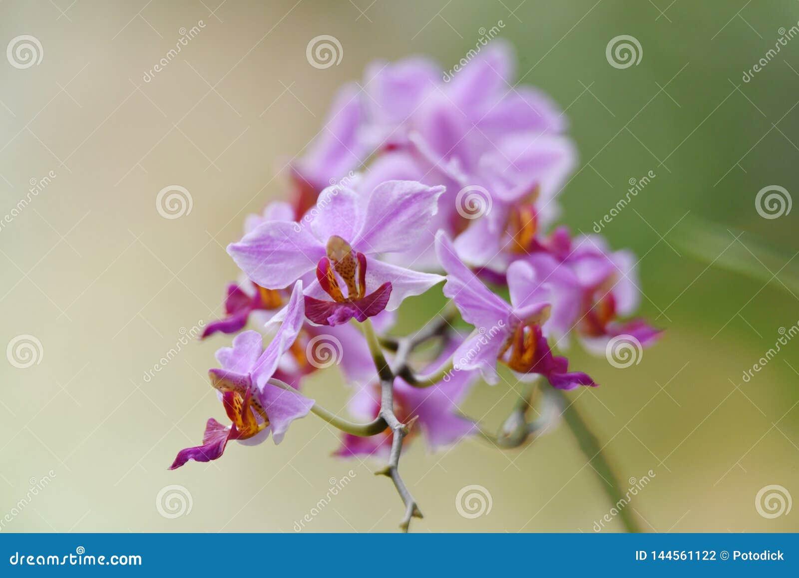 Flor roxa da orquídea com os pistilos de vermelho e de amarelo