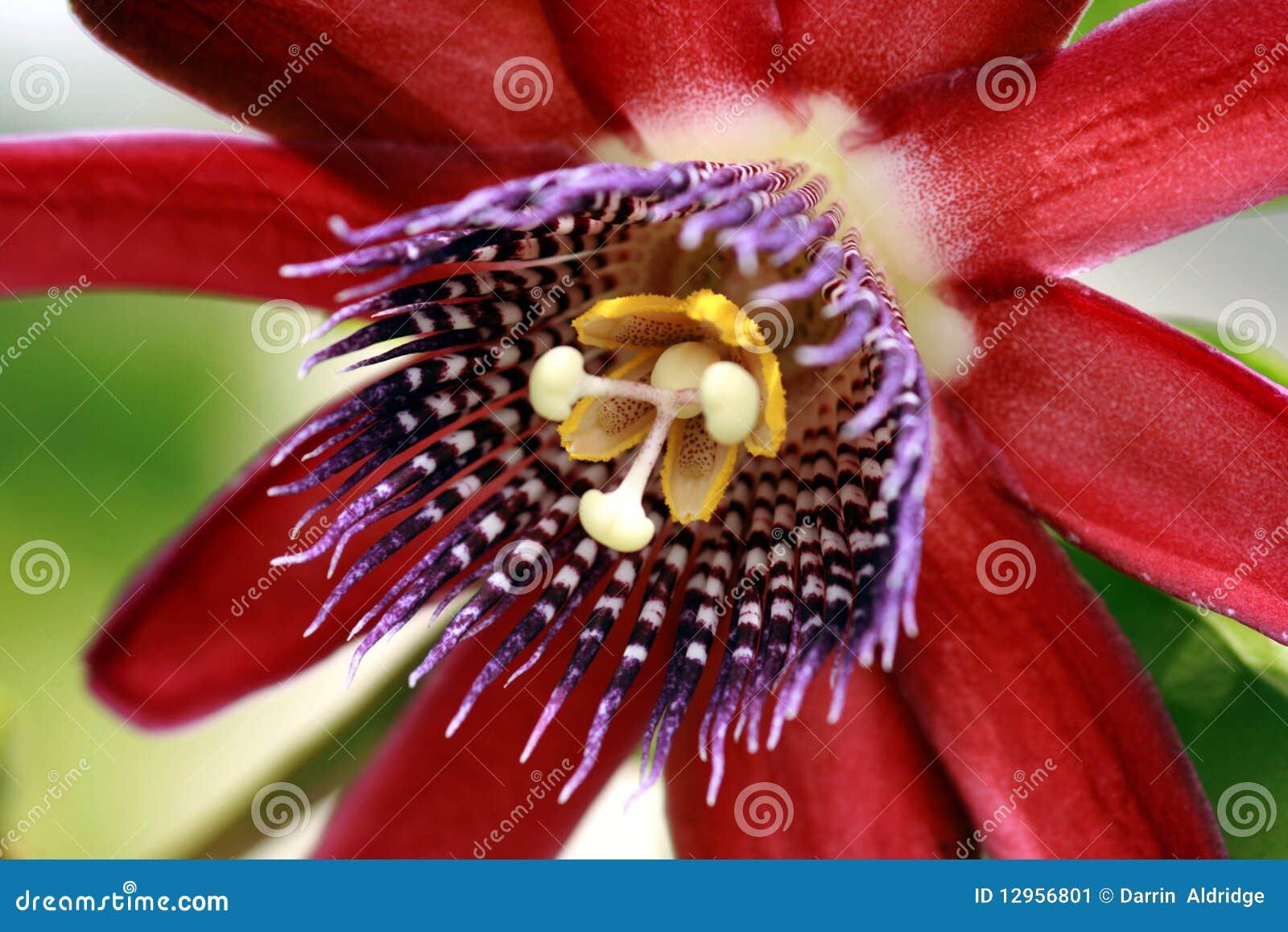 Flor roxa da paixão