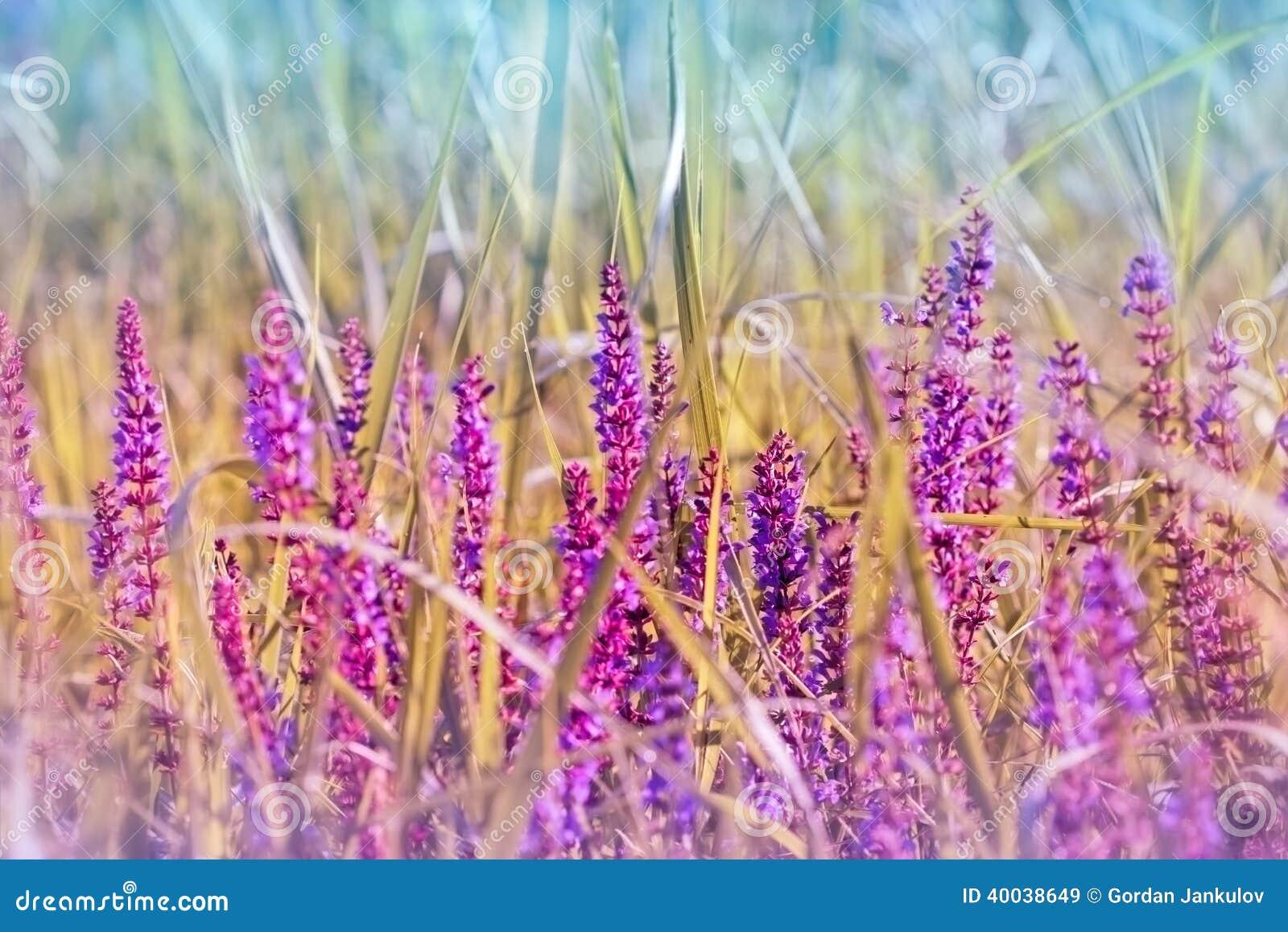 Flor roxa de florescência do prado