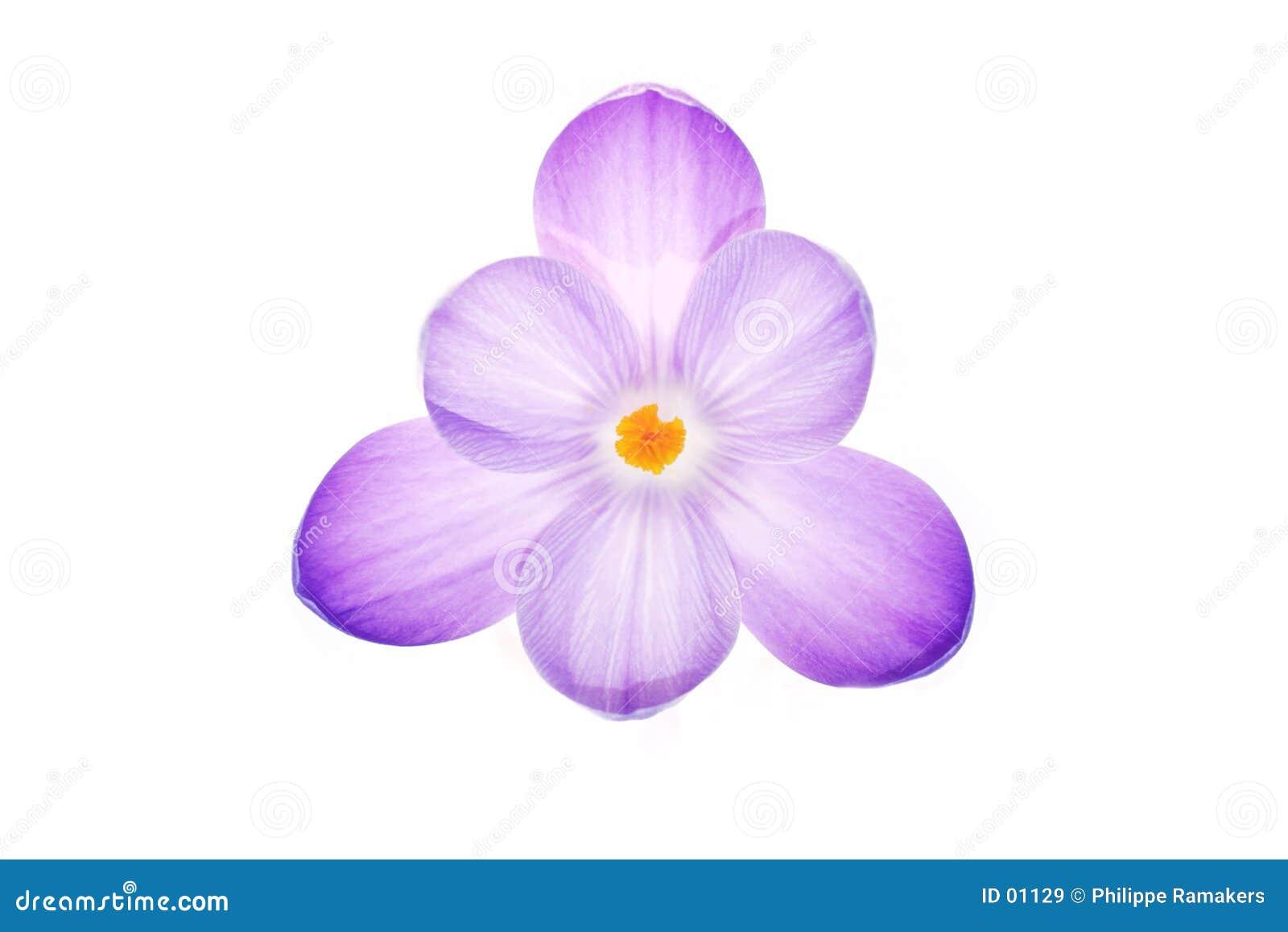 Flor roxa do açafrão