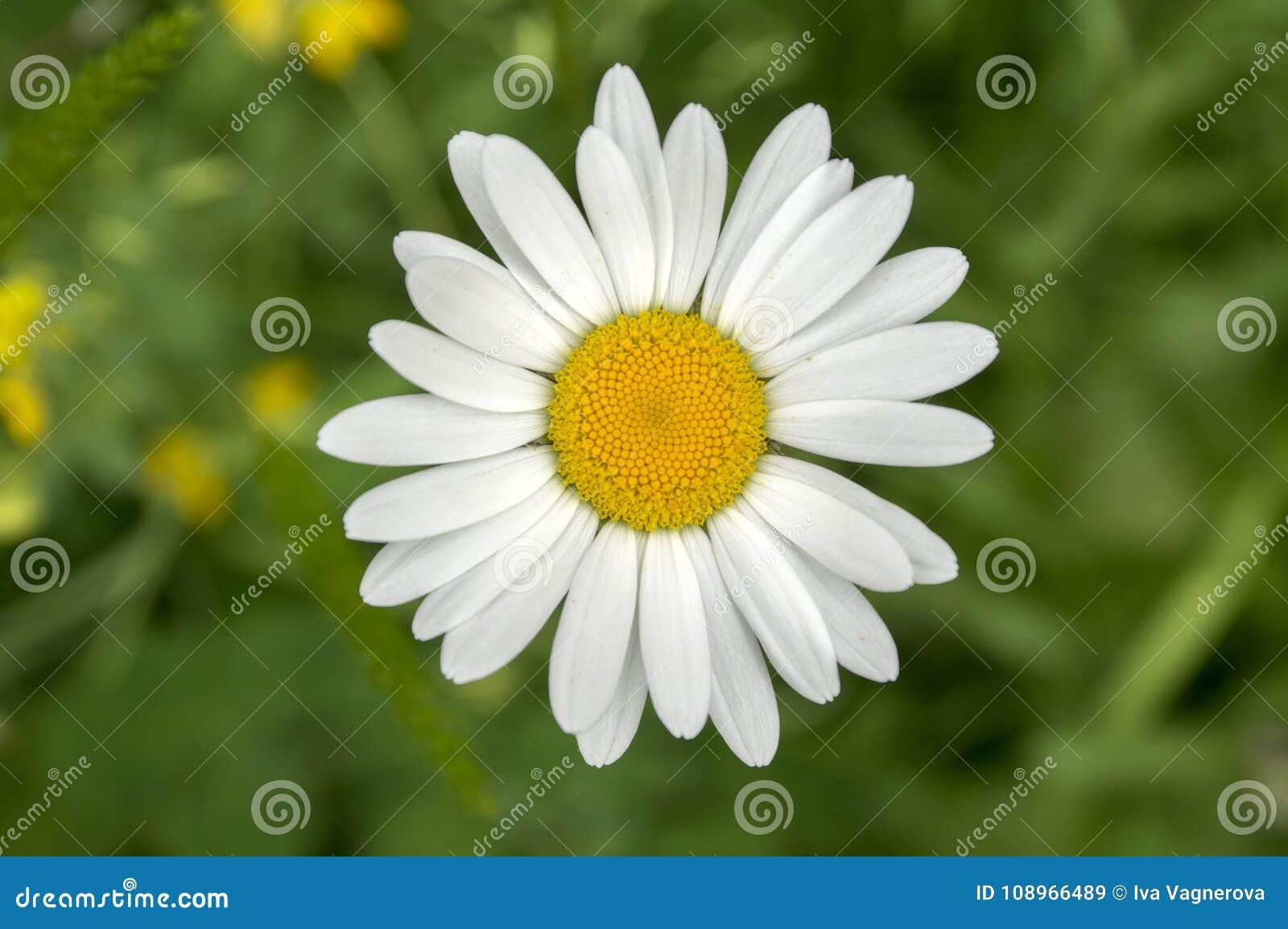 Flor salvaje de los prados del vulgare del Leucanthemum sola con los pétalos blancos y centro amarillo en la floración