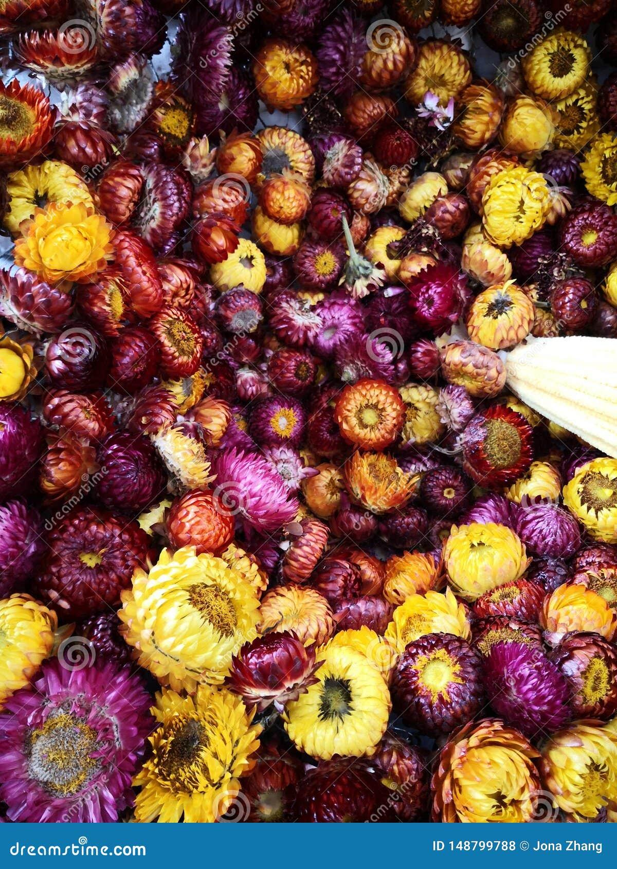 Flor seca: pouca margarida em amarelo, roxo