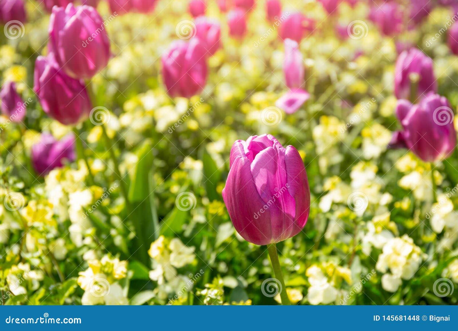 Flor selecionada da tulipa do rosa do foco no jardim com luz solar