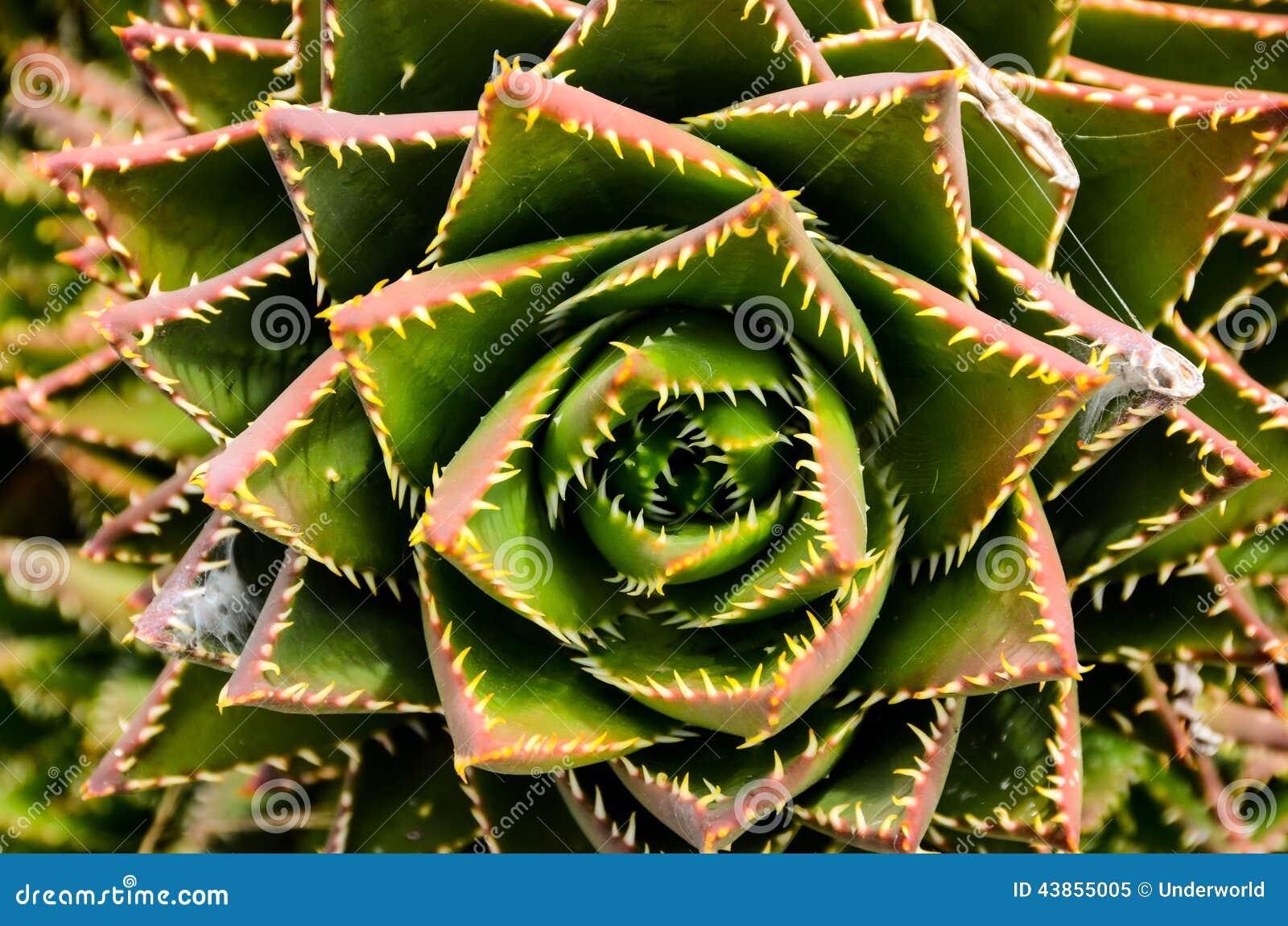 Flor Suculenta Verde Foto De Archivo Imagen 43855005