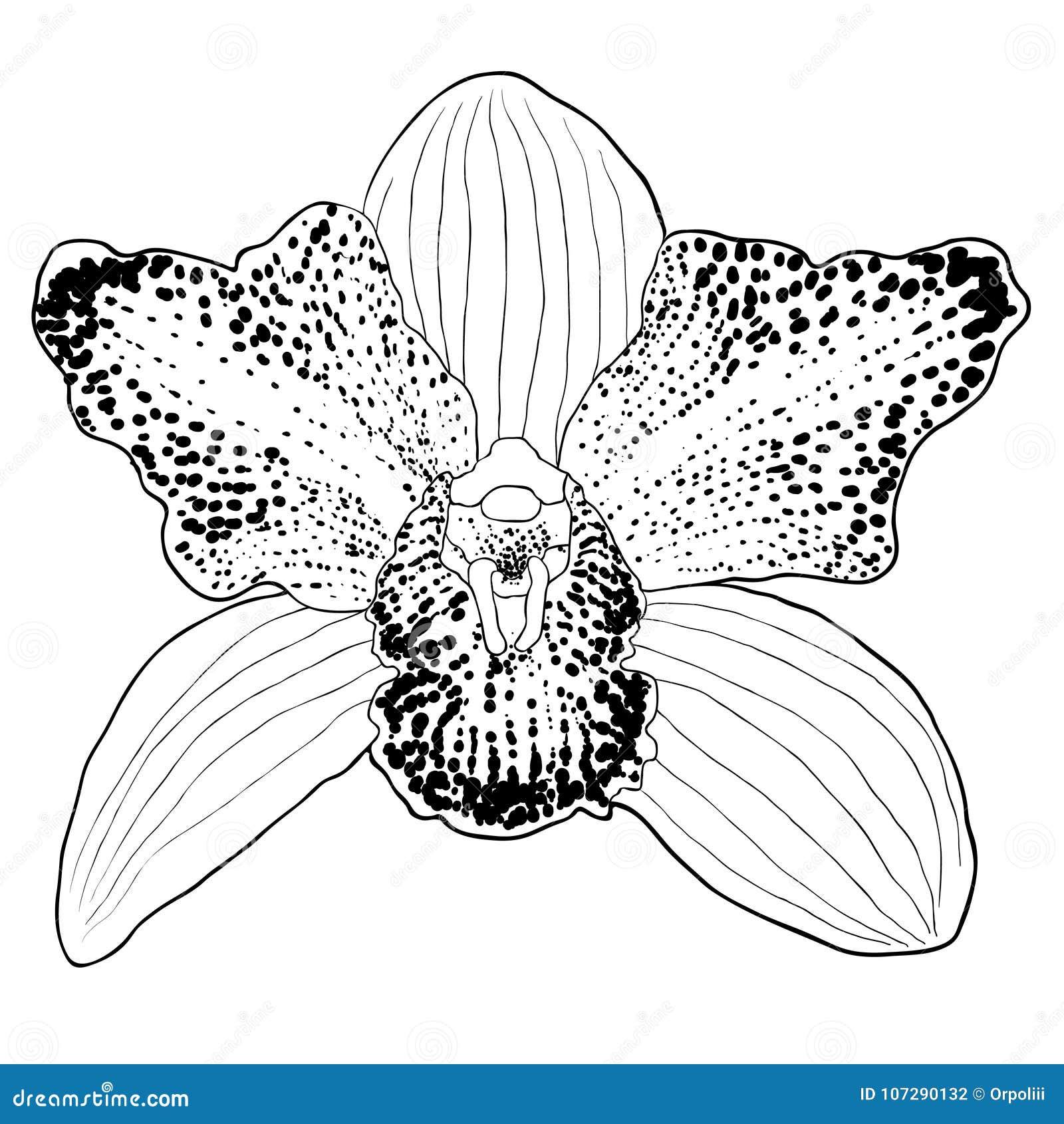 Flor Tropical Del Cymbidium De La Orquídea Del Colorante Ilustración ...