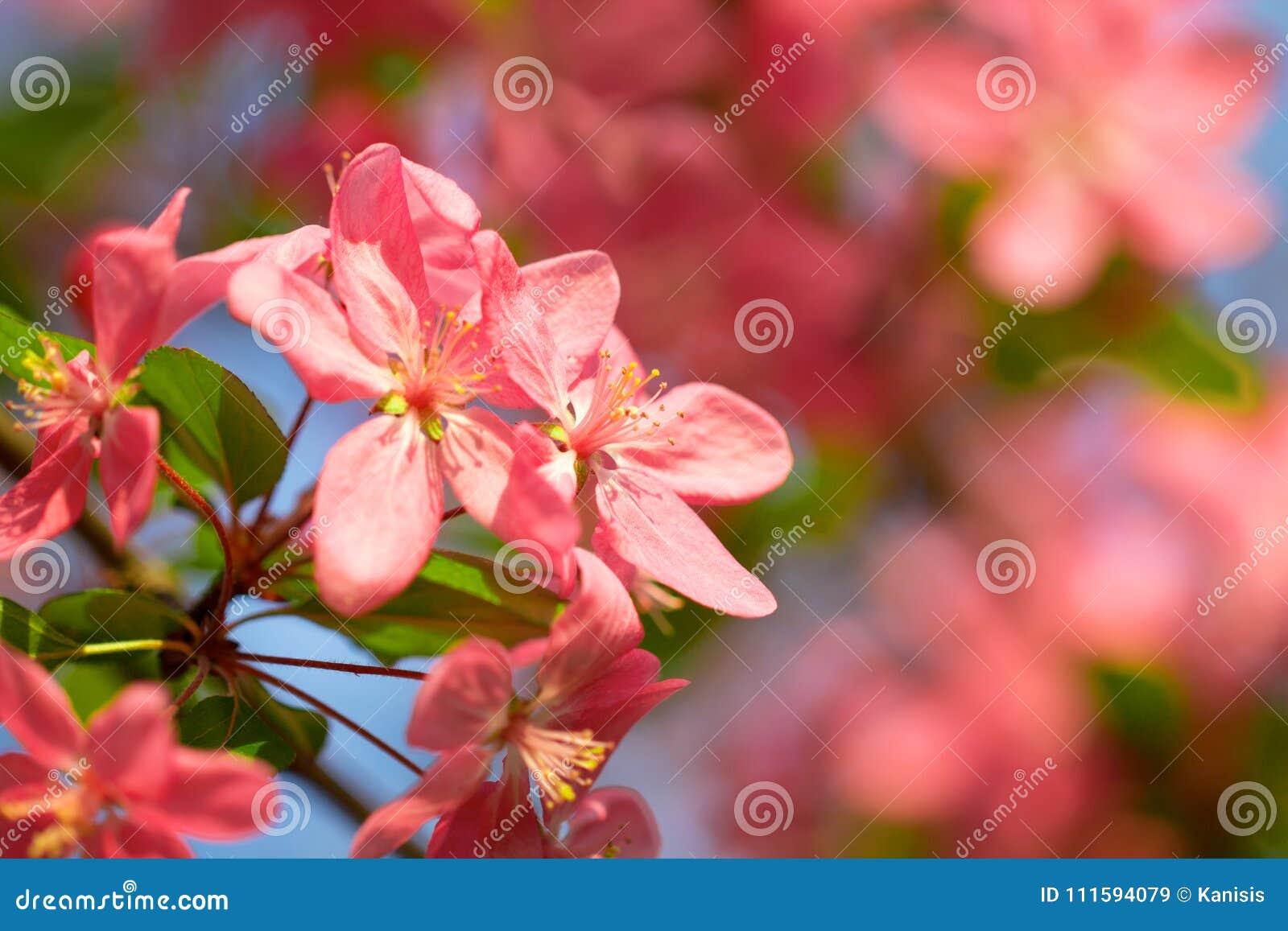Flor vermelha da flor da árvore de cereja na luz solar macia da estação de mola