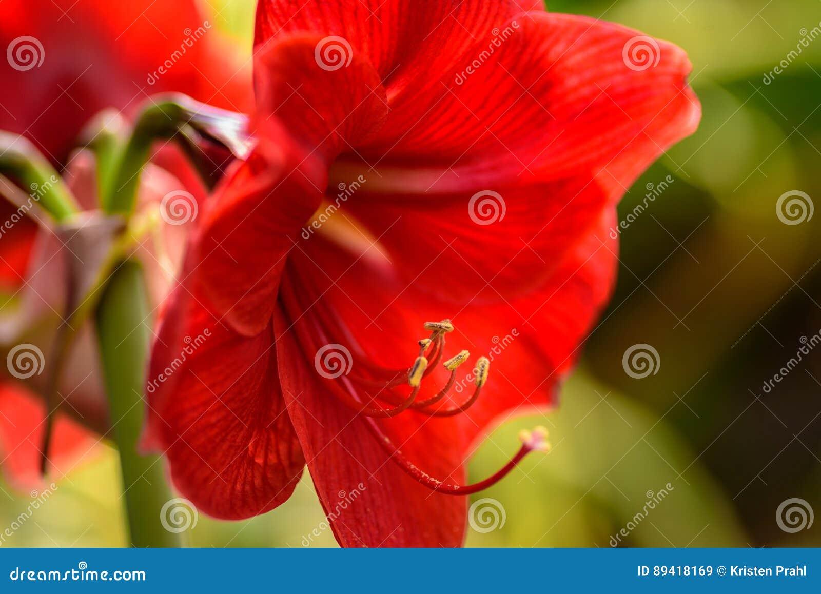 Flor vermelha da amarílis na luz solar