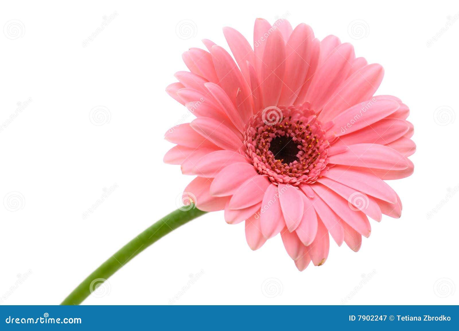 Flor vermelha da margarida