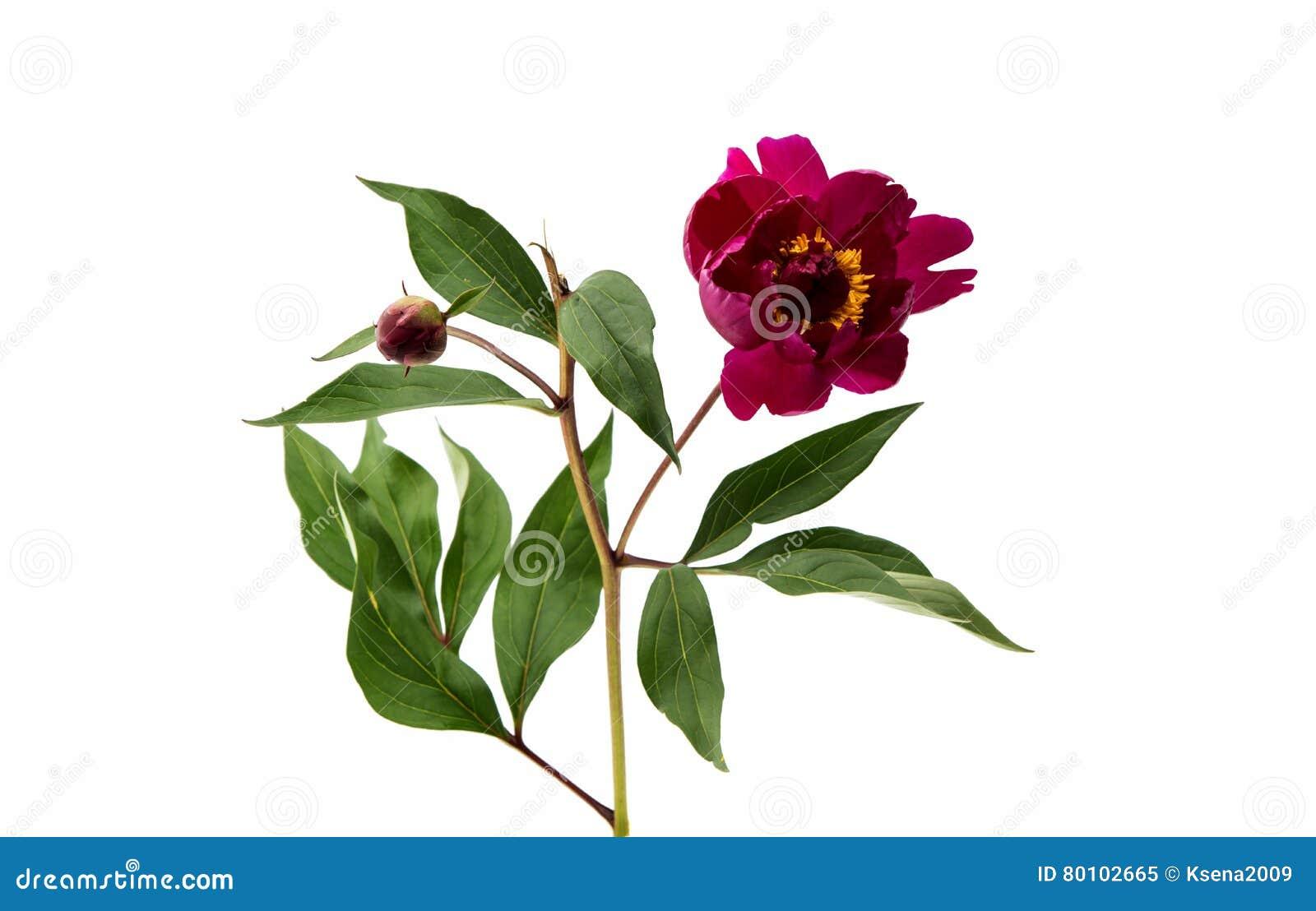 Flor vermelha da peônia isolada