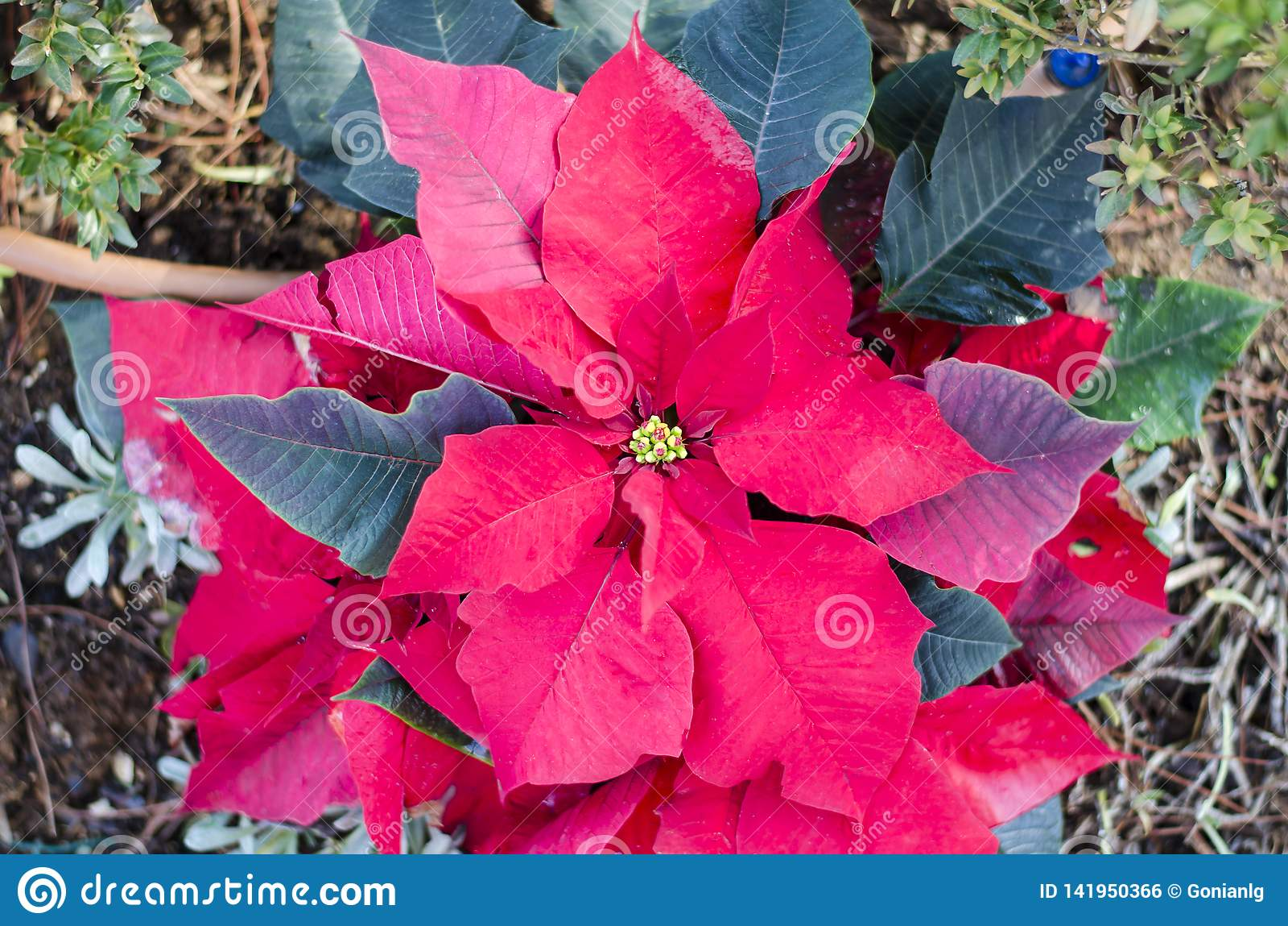 Flor vermelha da poinsétia, eufórbio Pulcherrima, flor do Natal de Nochebuena Atenas, Grécia