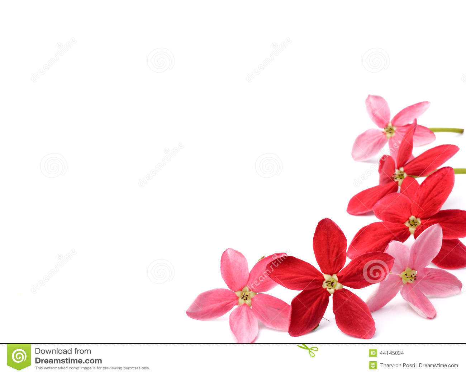 flor vermelha da trepadeira de rangoon no fundo branco foto de stock imagem 44145034. Black Bedroom Furniture Sets. Home Design Ideas