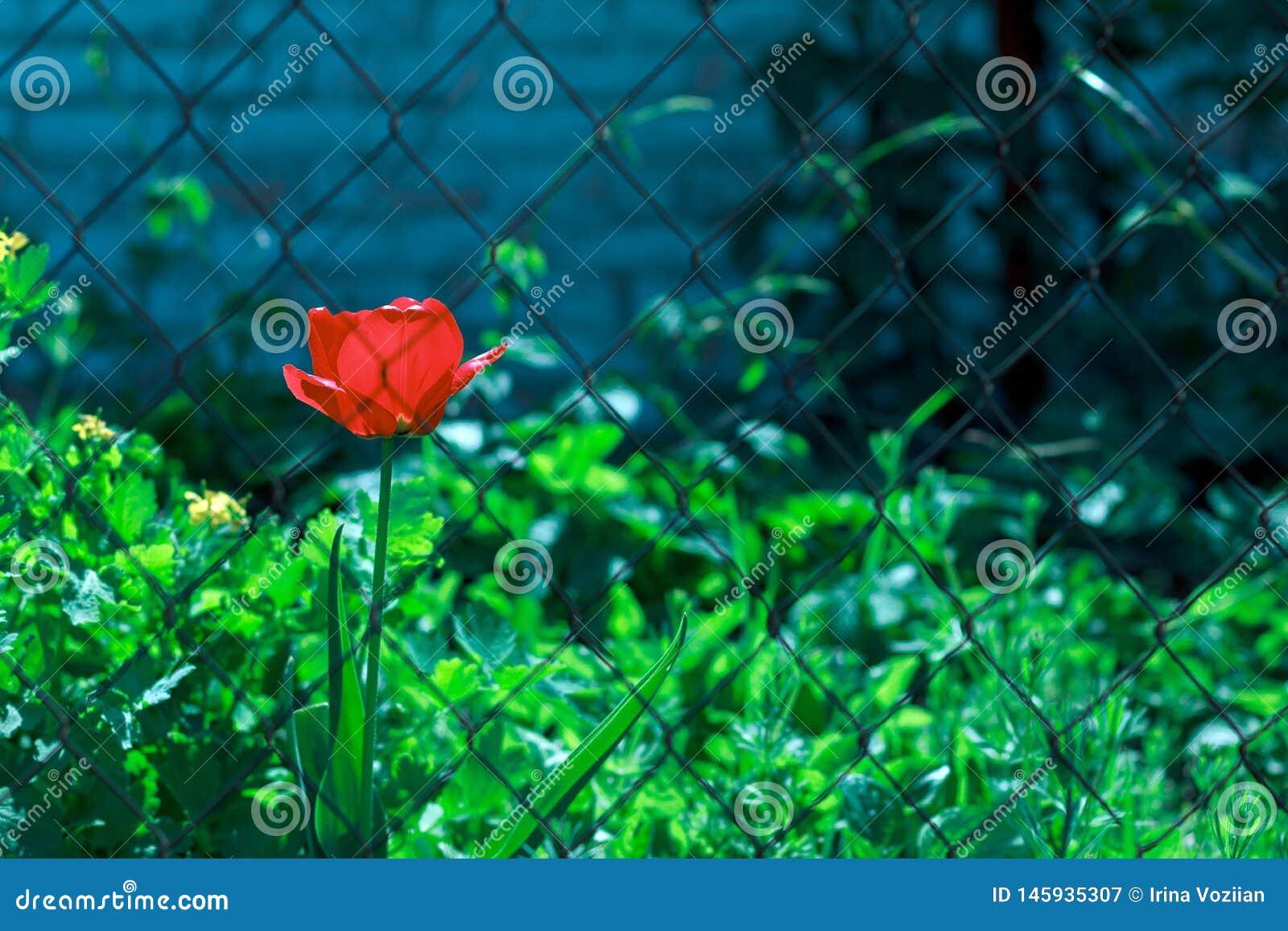 Flor vermelha da tulipa atrás das barras