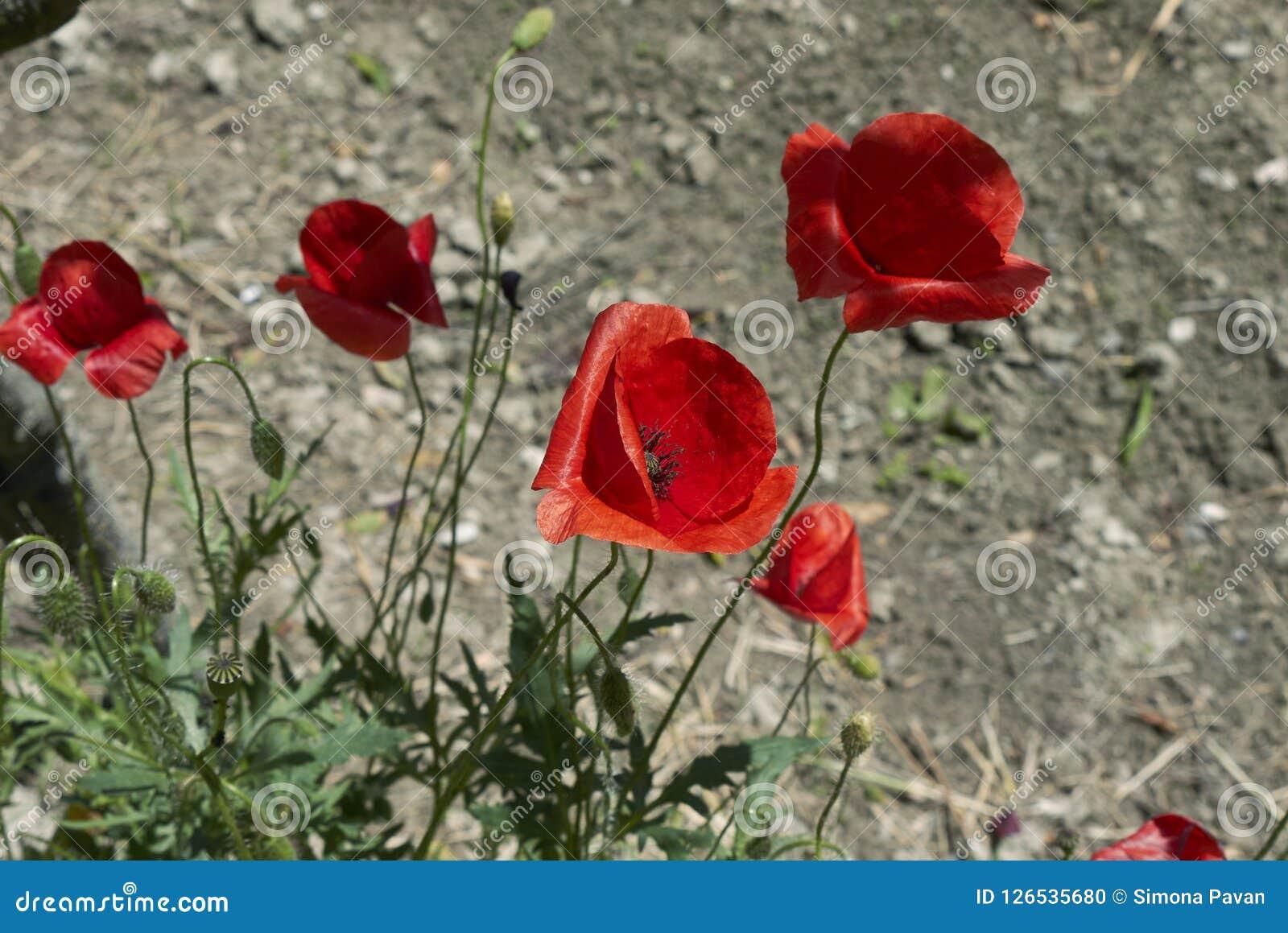 Flor vermelha de plantas dos rhoeas do Papaver Foto de Stock