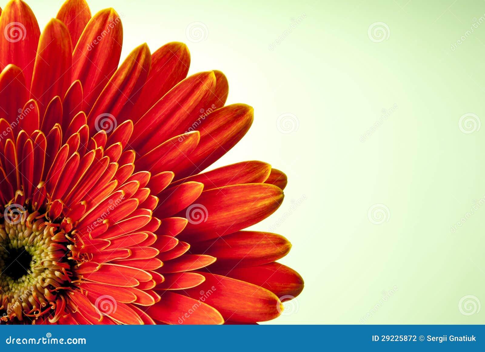 Download Flor vermelha do gerbera foto de stock. Imagem de brilhante - 29225872