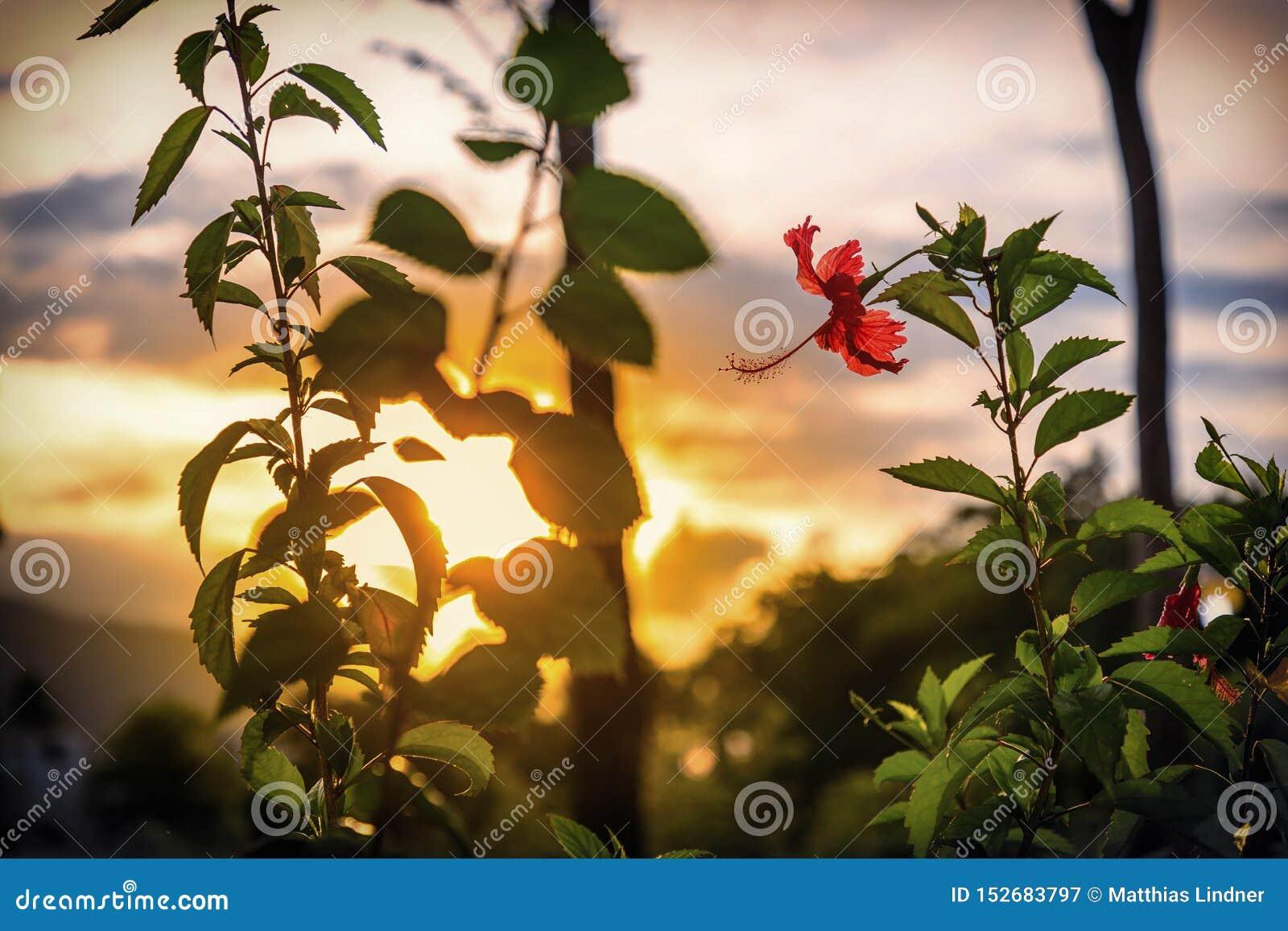 Flor vermelha do hibiscus antes do por do sol As Cara?bas, Rep?blica Dominicana