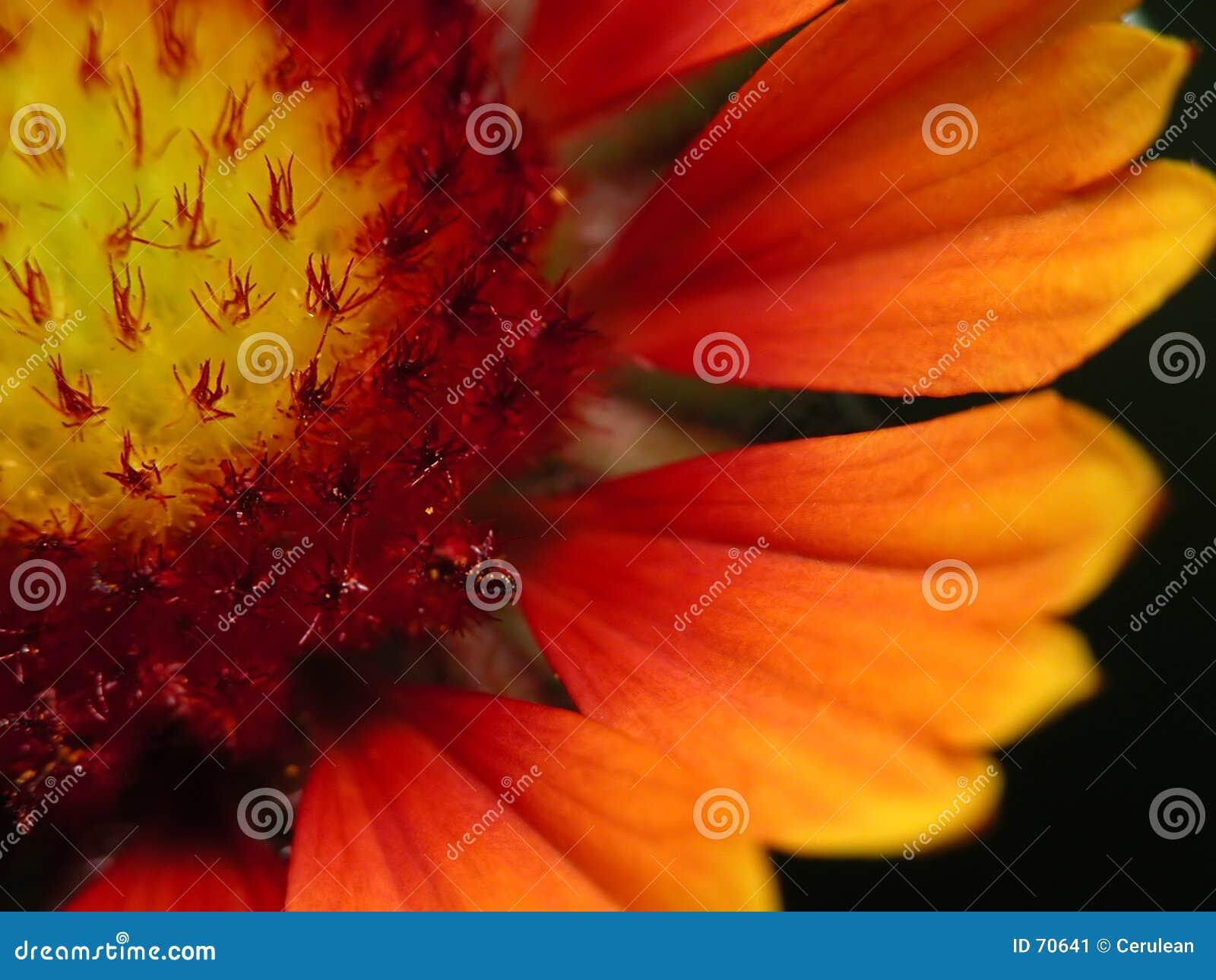 Flor vermelha e amarela