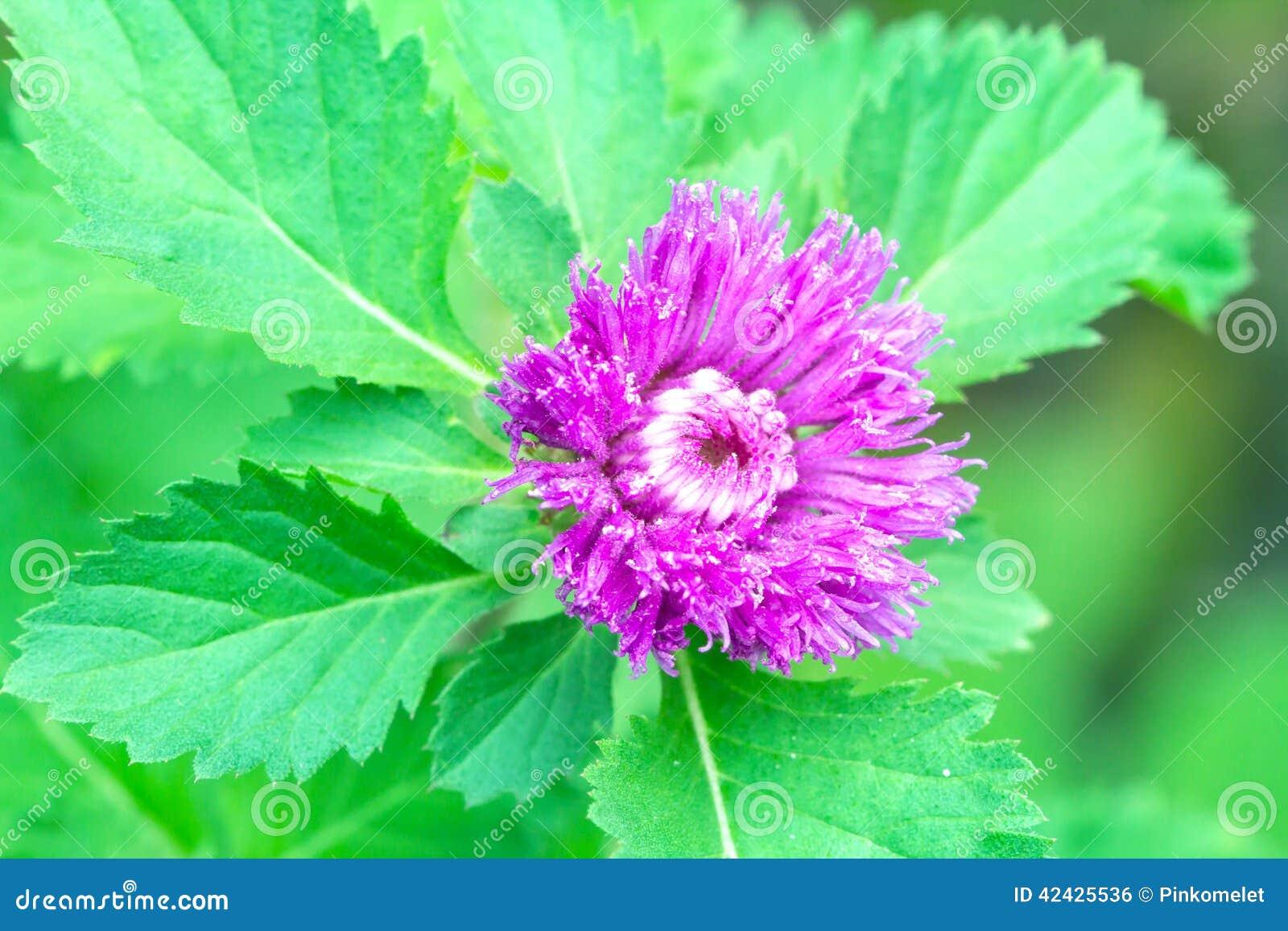 Flor violeta del primer con la hoja verde