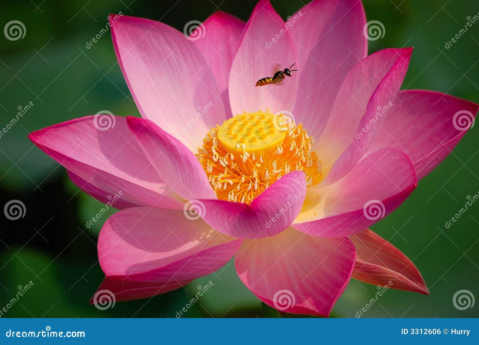 Flor y abeja de loto