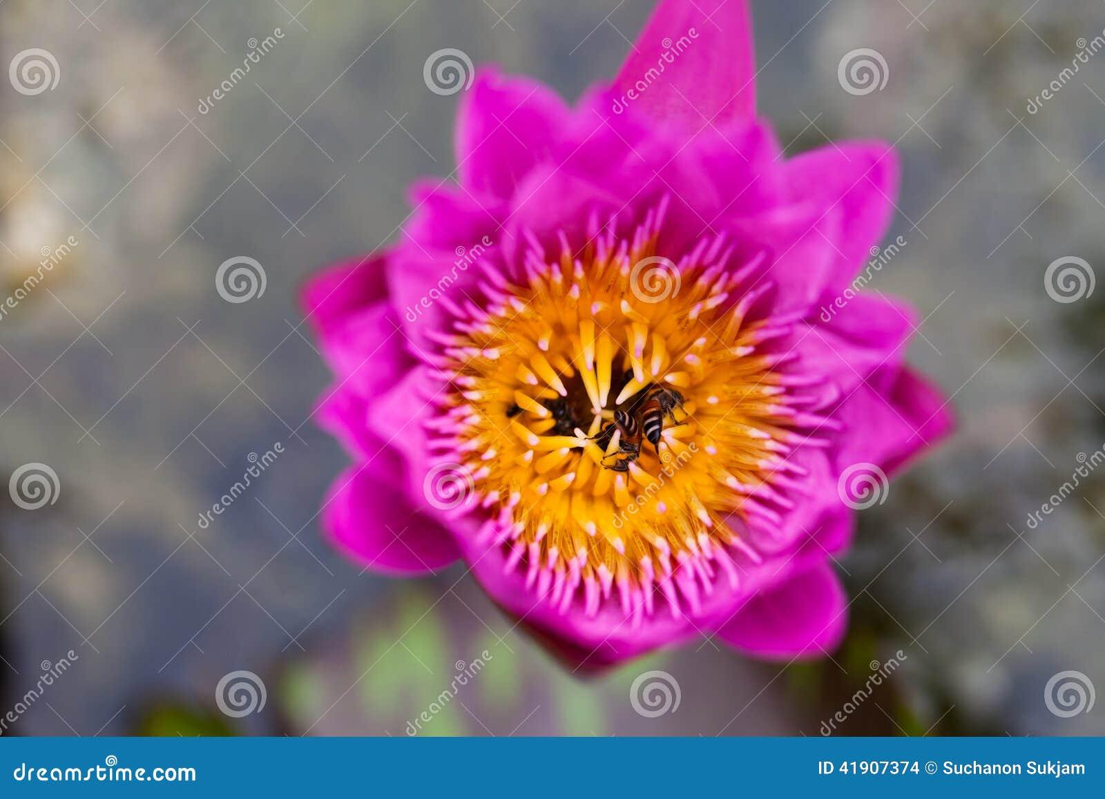 Flor y abeja de Lotus