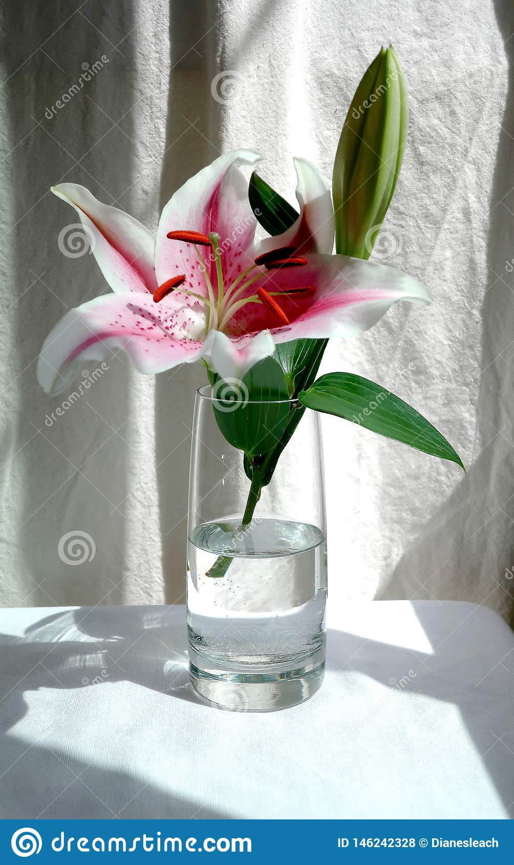 Flor y brote rosados en un florero de cristal, fondo blanco del lirio