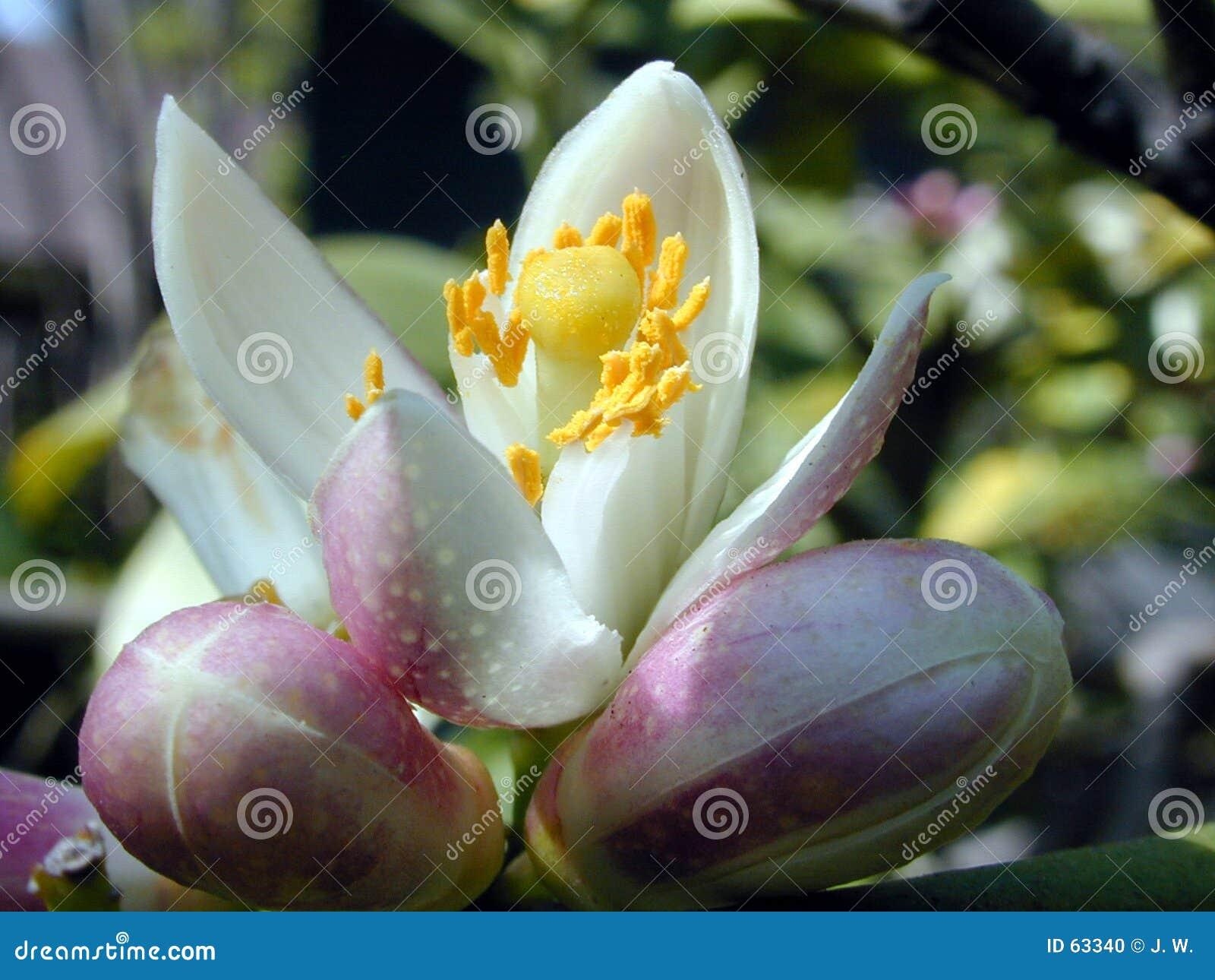 Flor y brotes del árbol de limón
