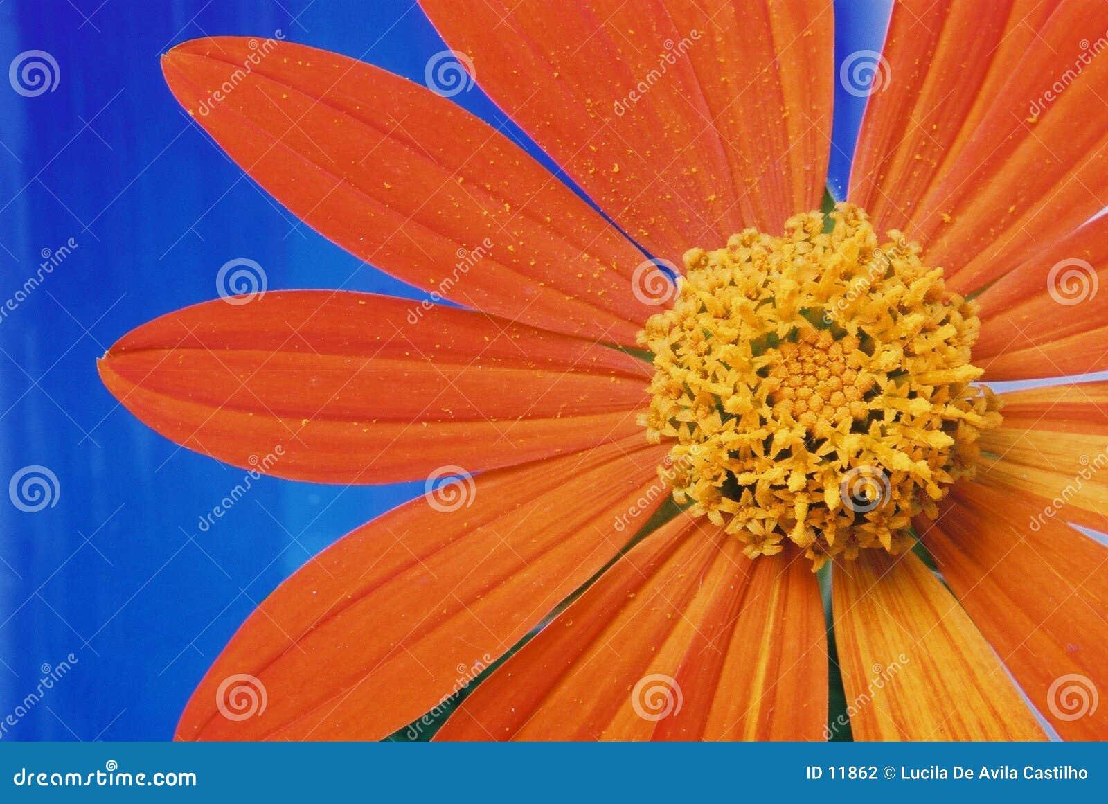 Flor y pétalos anaranjados