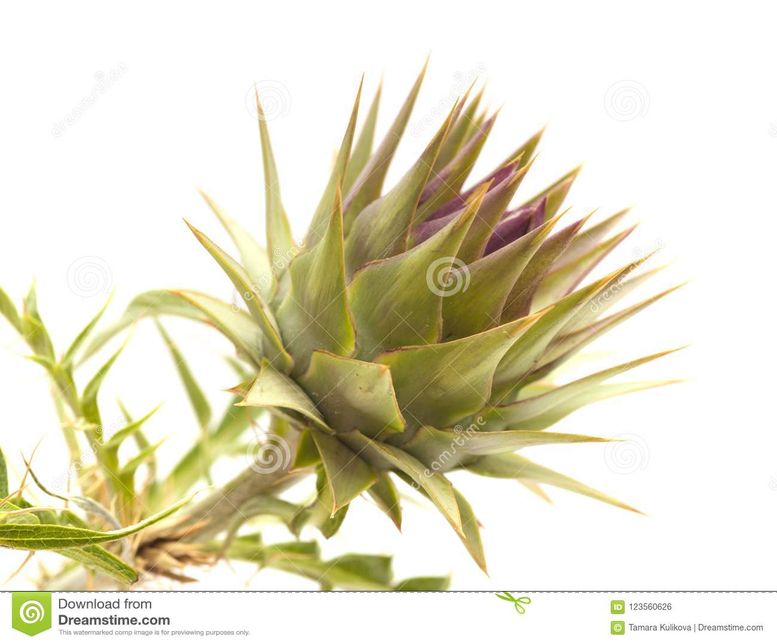 Flora de Gran Canaria - alcachofra