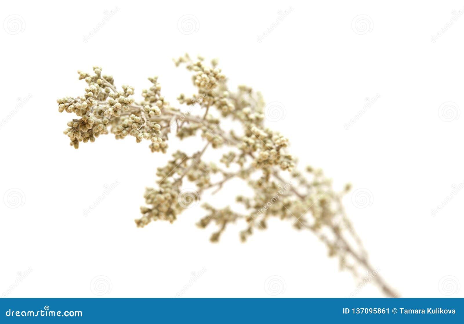 Flora de Gran Canaria - ramosa da artemísia