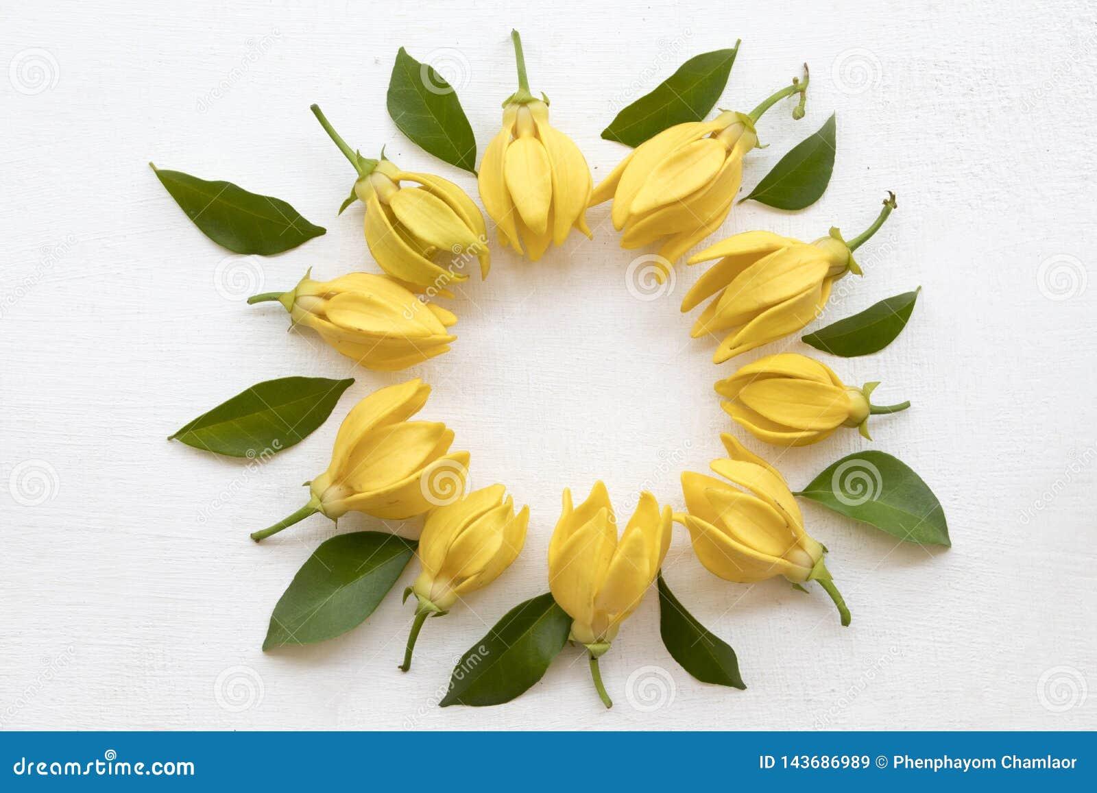 Flora local das flores amarelas do ylang de Ylang de Ásia