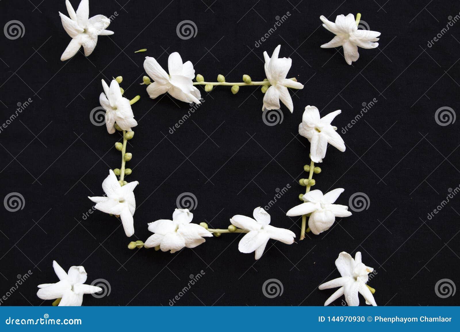 Flora local do jasmim das flores brancas de Ásia no preto