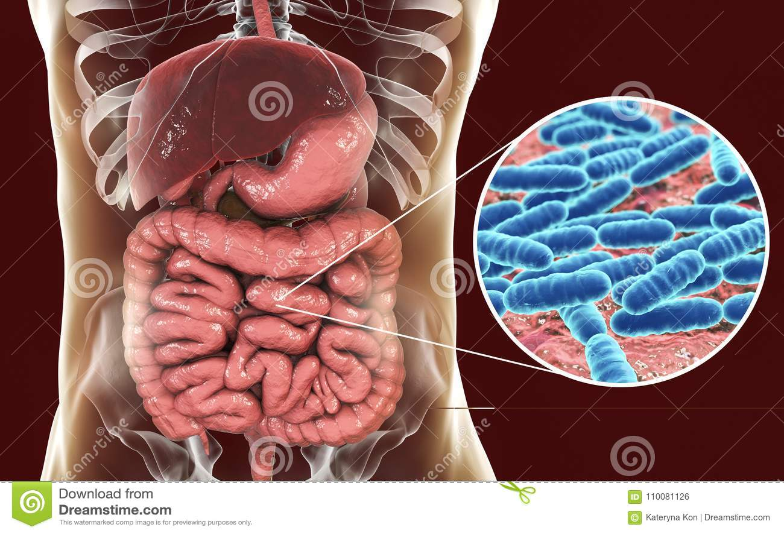 Flora normale dell intestino tenue, lattobacillo dei batteri